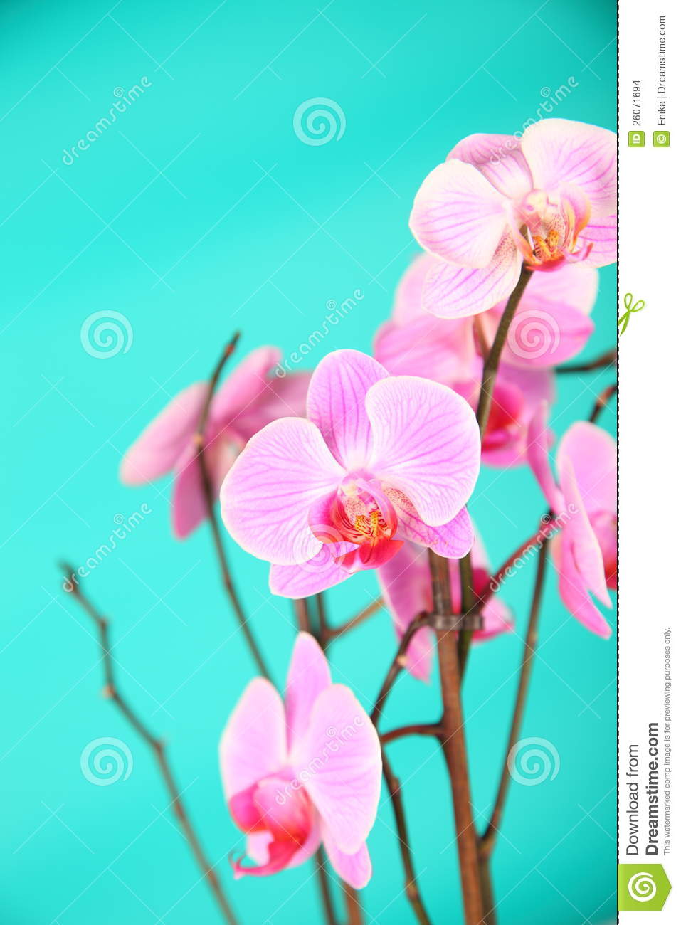pink orchids close up - photo #39