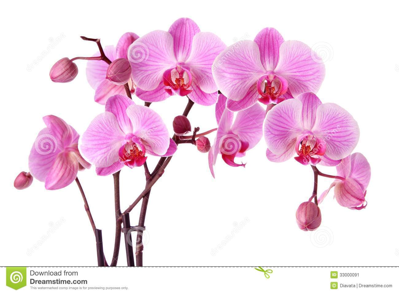 Pink orchids isolated on a white background.