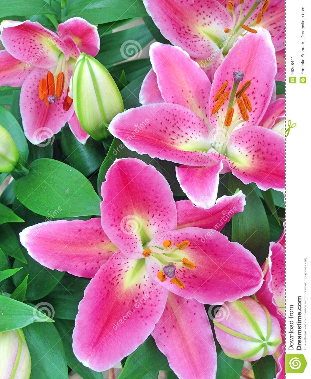 Pink Oriental Lily Flowers Stock Image Image Of Blossom 96258441
