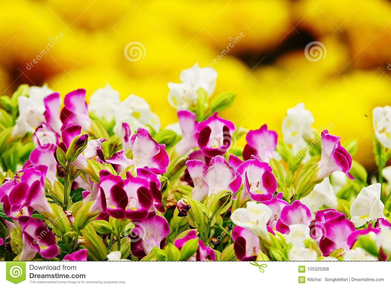 Pink Pansy Disambiguation Garden Flower Stock Photo Image Of