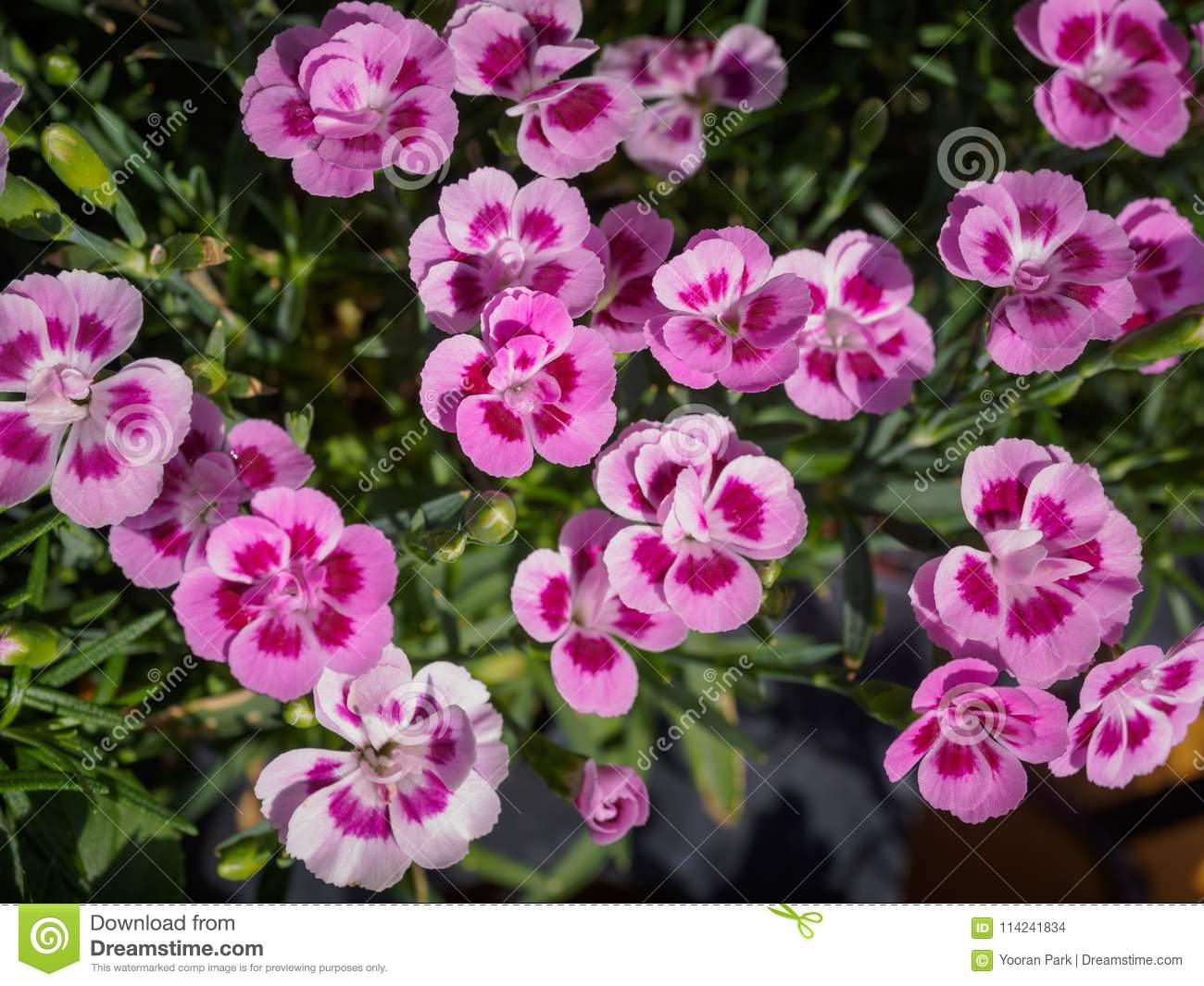 Pink pansy flowers with blur background stock photo image of grass pink pansy flowers with blur background mightylinksfo
