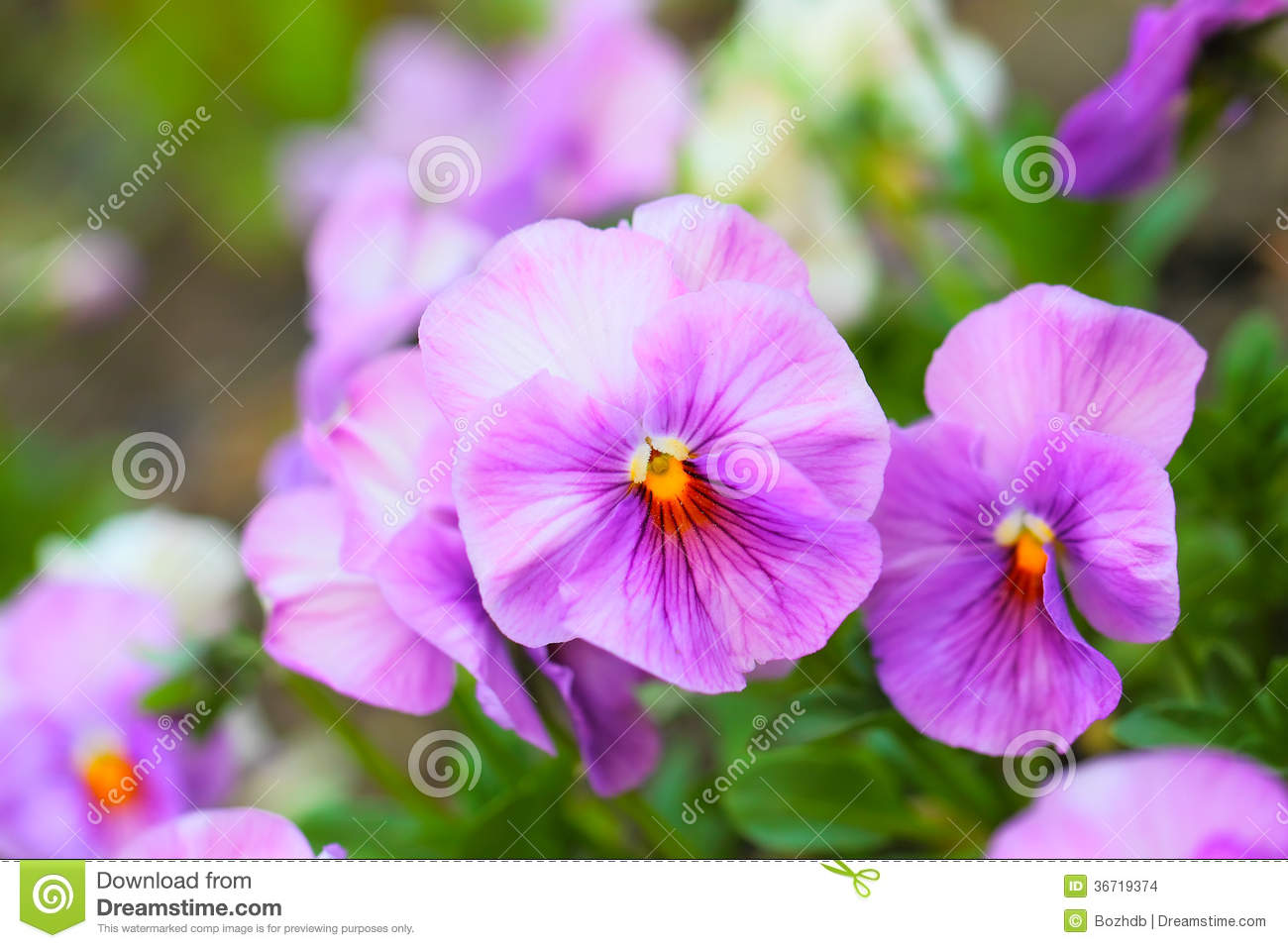 Pink Pansy Flowers On Flower Bed Stock Photo Image Of Aroma