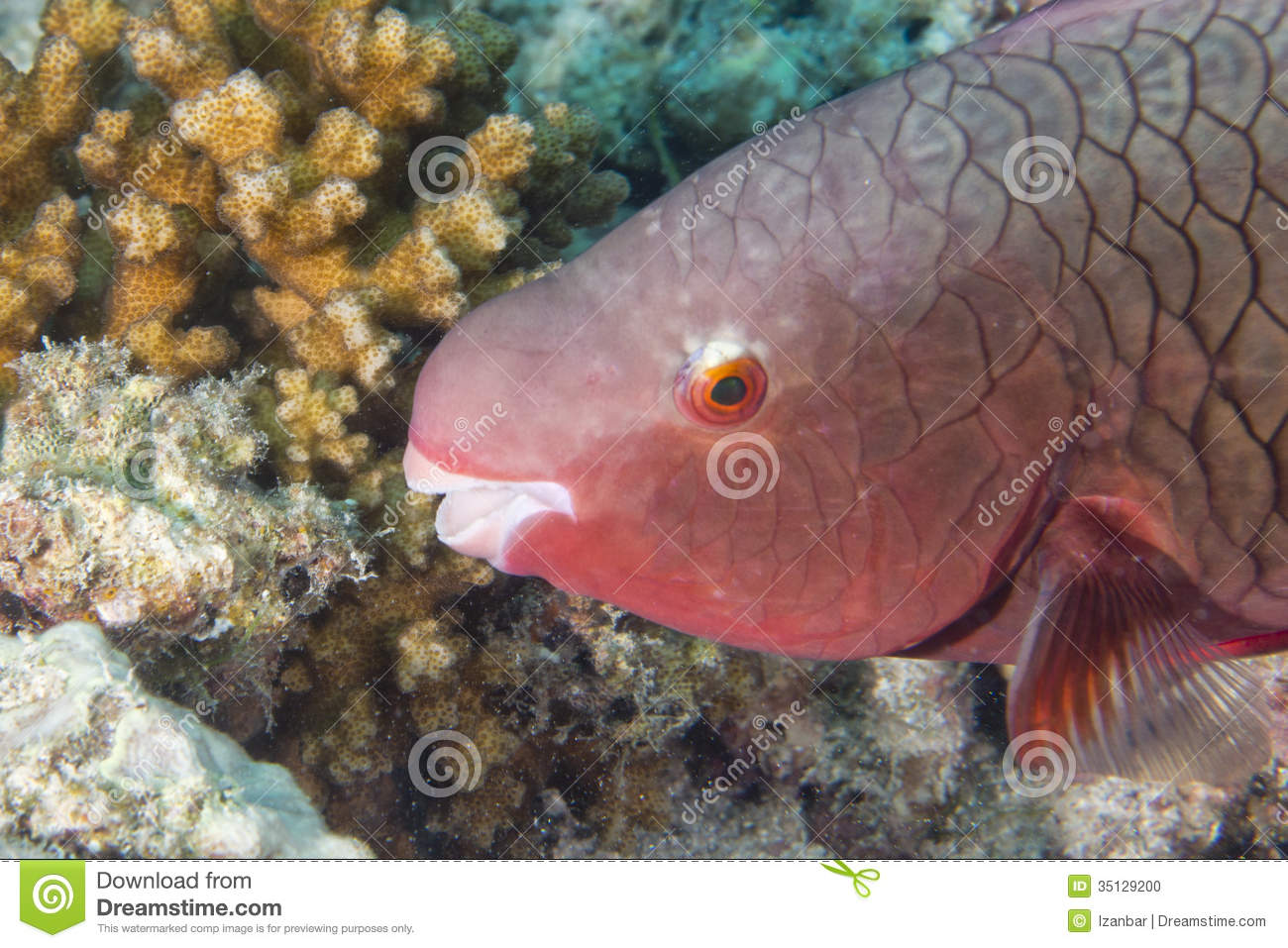 A pink parrot fish stock photo. Image of paradise, lagoon - 35129200