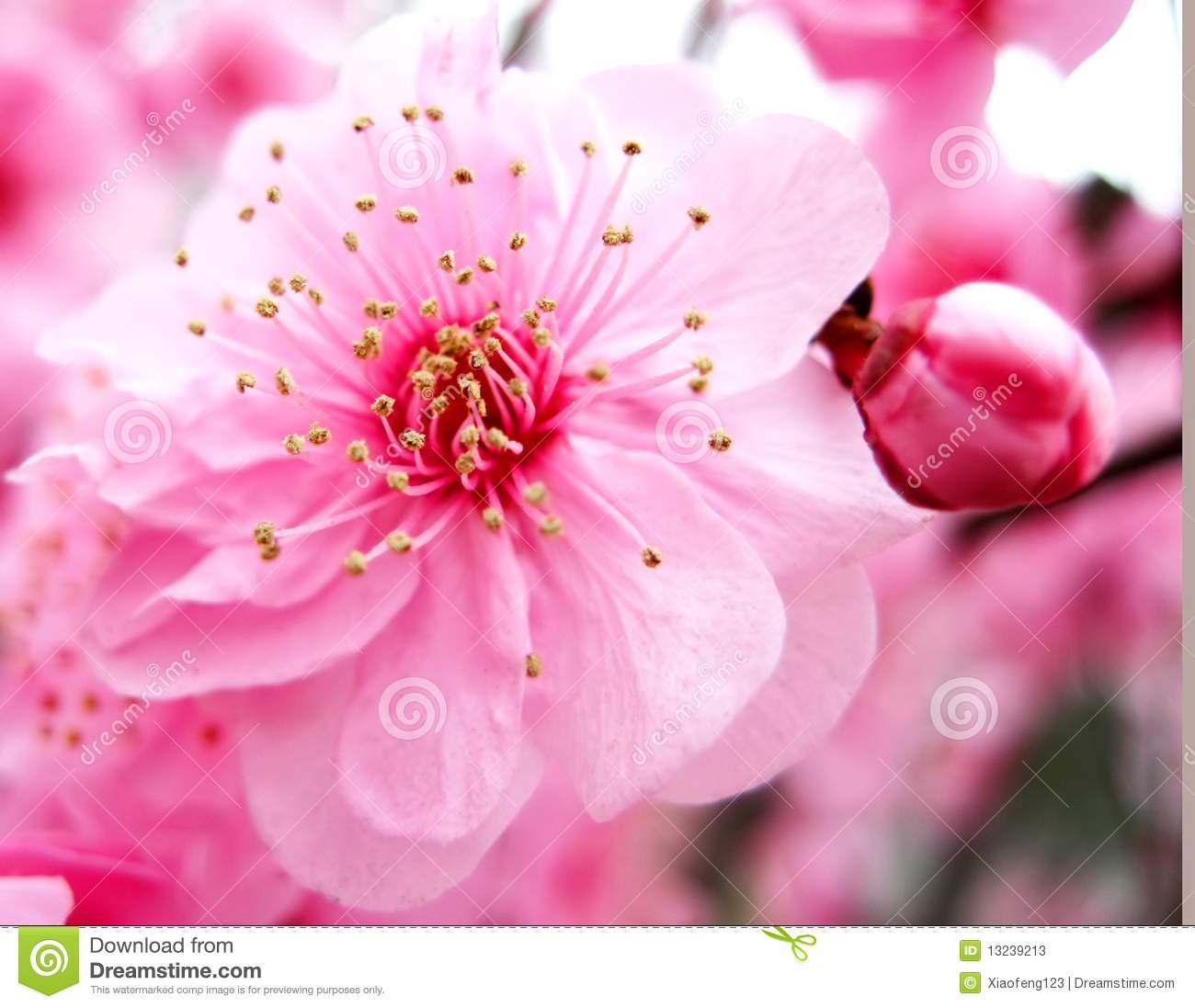 Pink Peach Blossom Stock Image Of Growth Petal