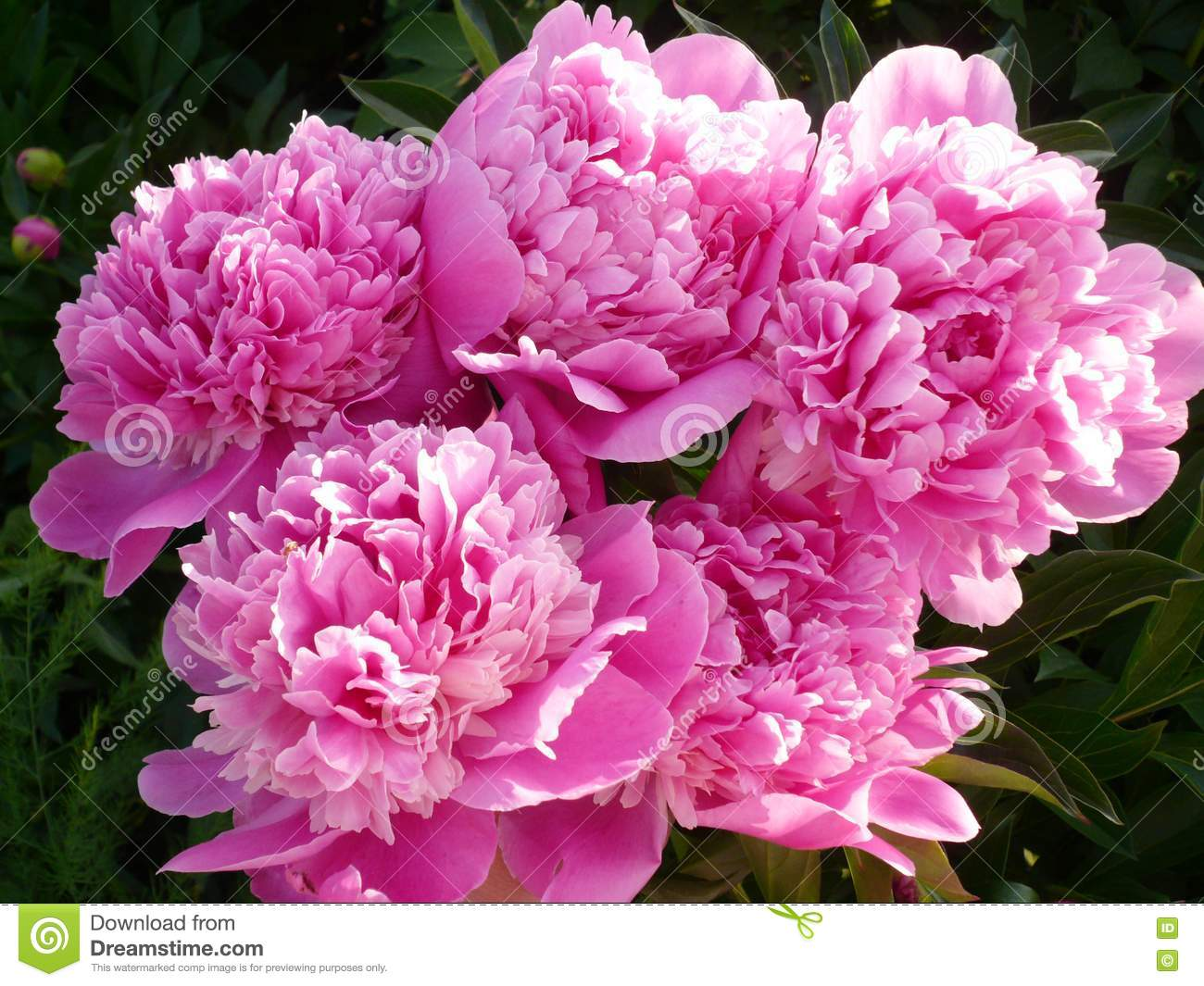 f83edd4f8b6 Stock Photography  Pink Peonies Picture. Image  17096332