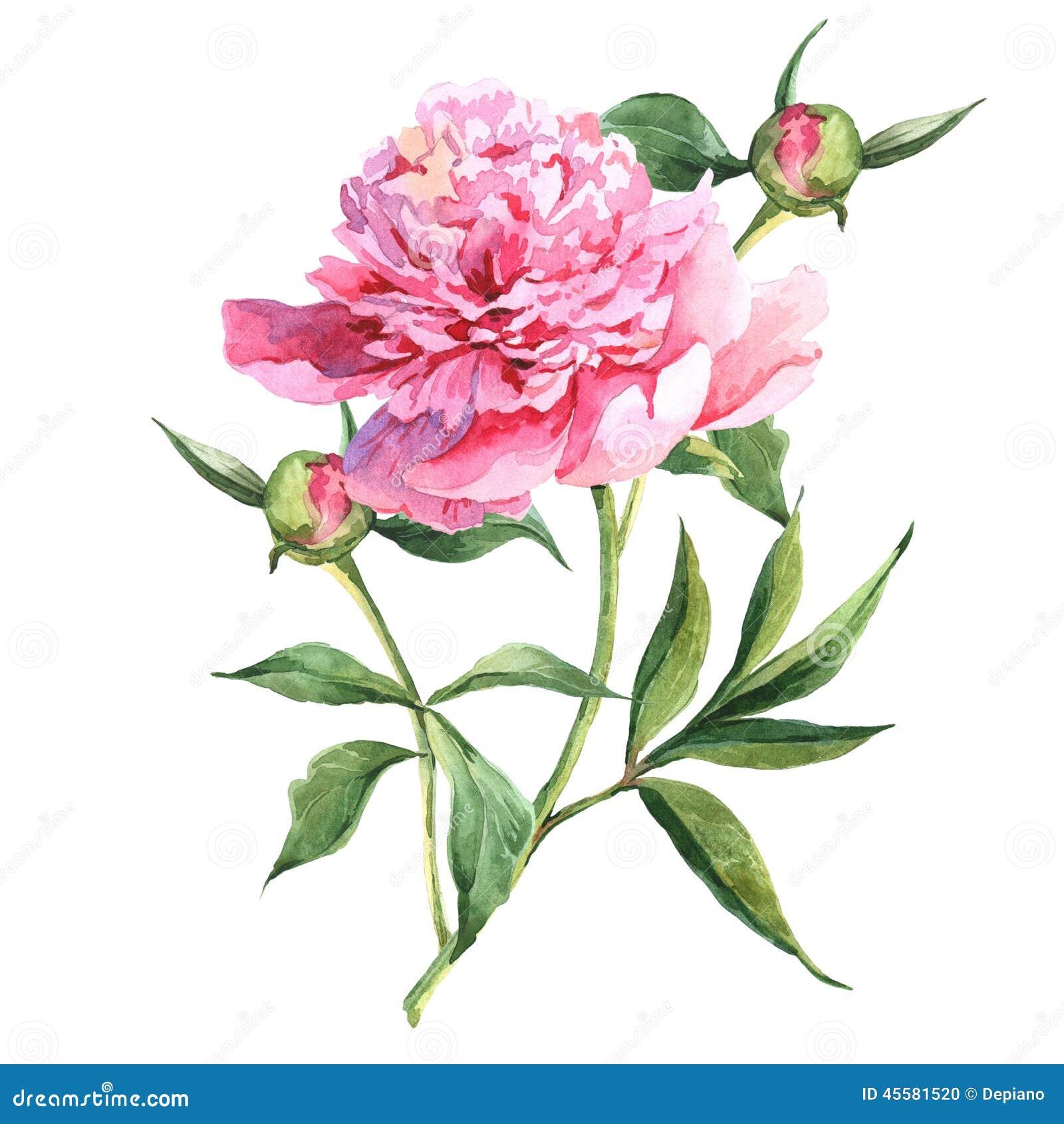 Botanical Illustration Watercolor