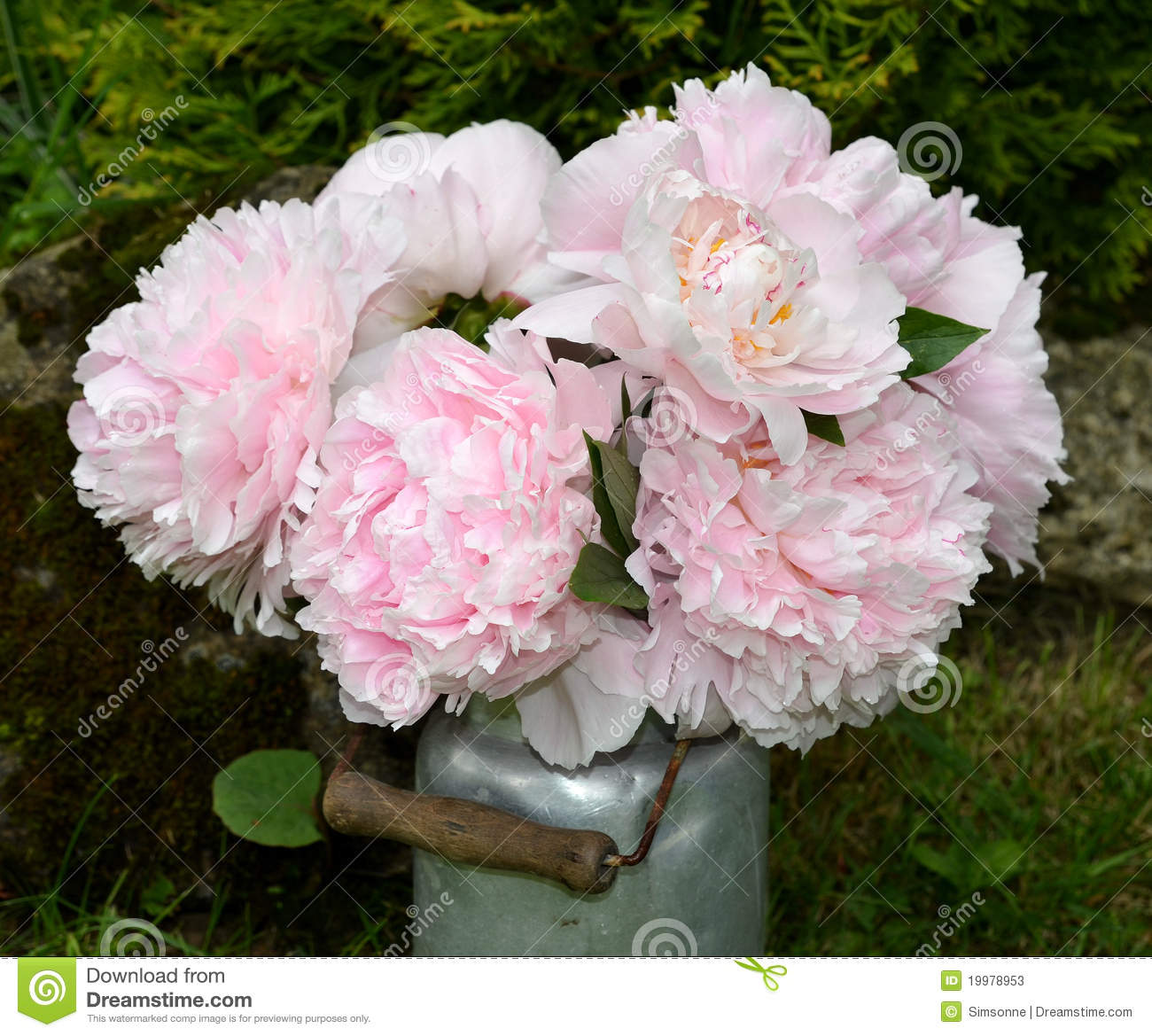 pink peonies in the garden stock photos image 19978953