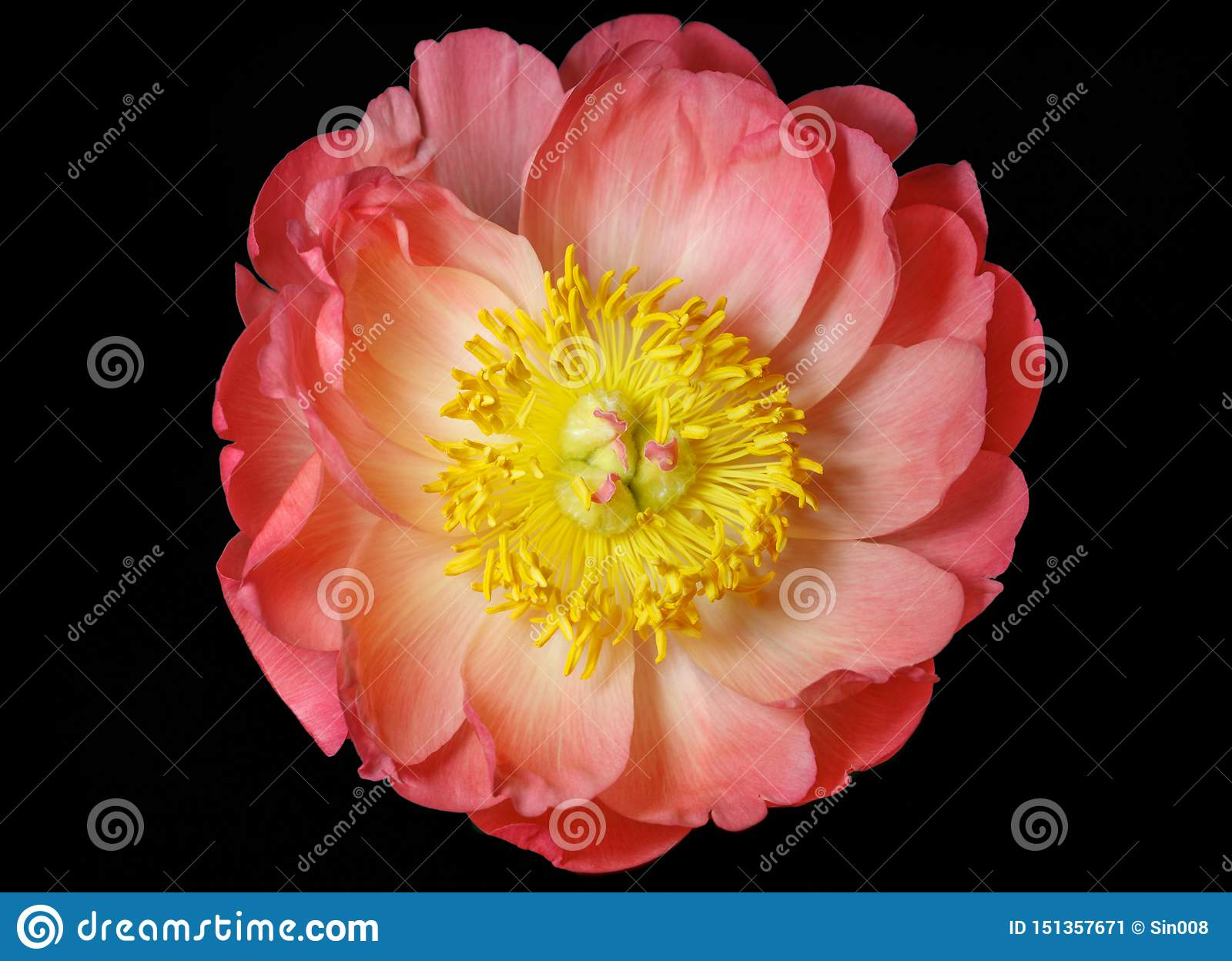 Pink peony close up isolated on black background, top view. Beautiful delicate peony with pink petals and yellow middle