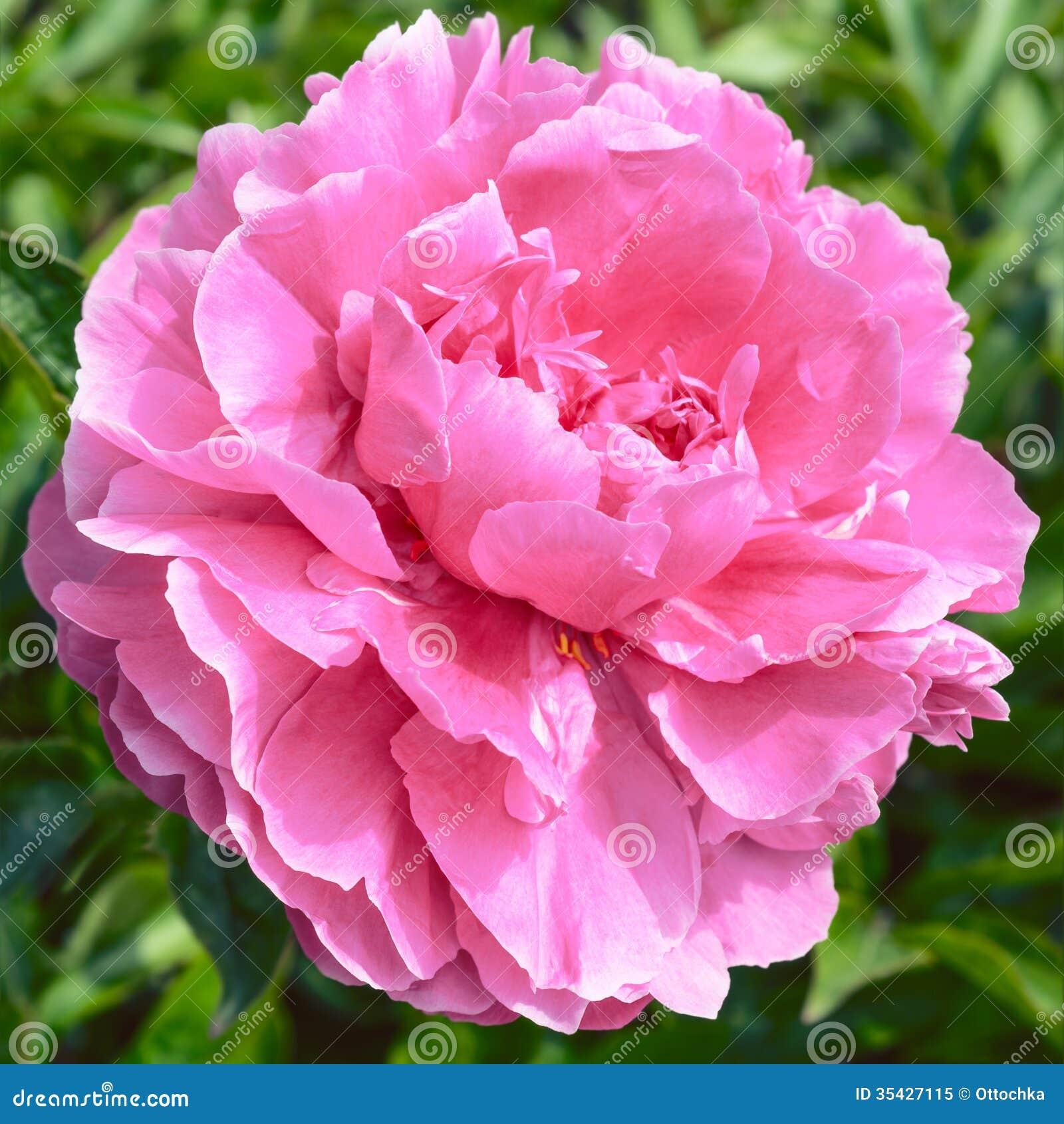 Pink peony flower stock image image of fresh summer 35427115 pink peony flower mightylinksfo