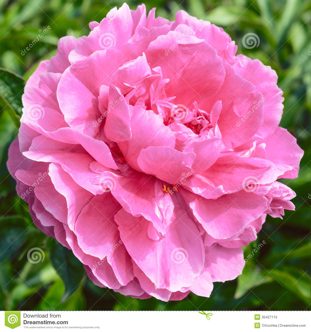 Paeonia Flower Pink peony flower Royalty Free