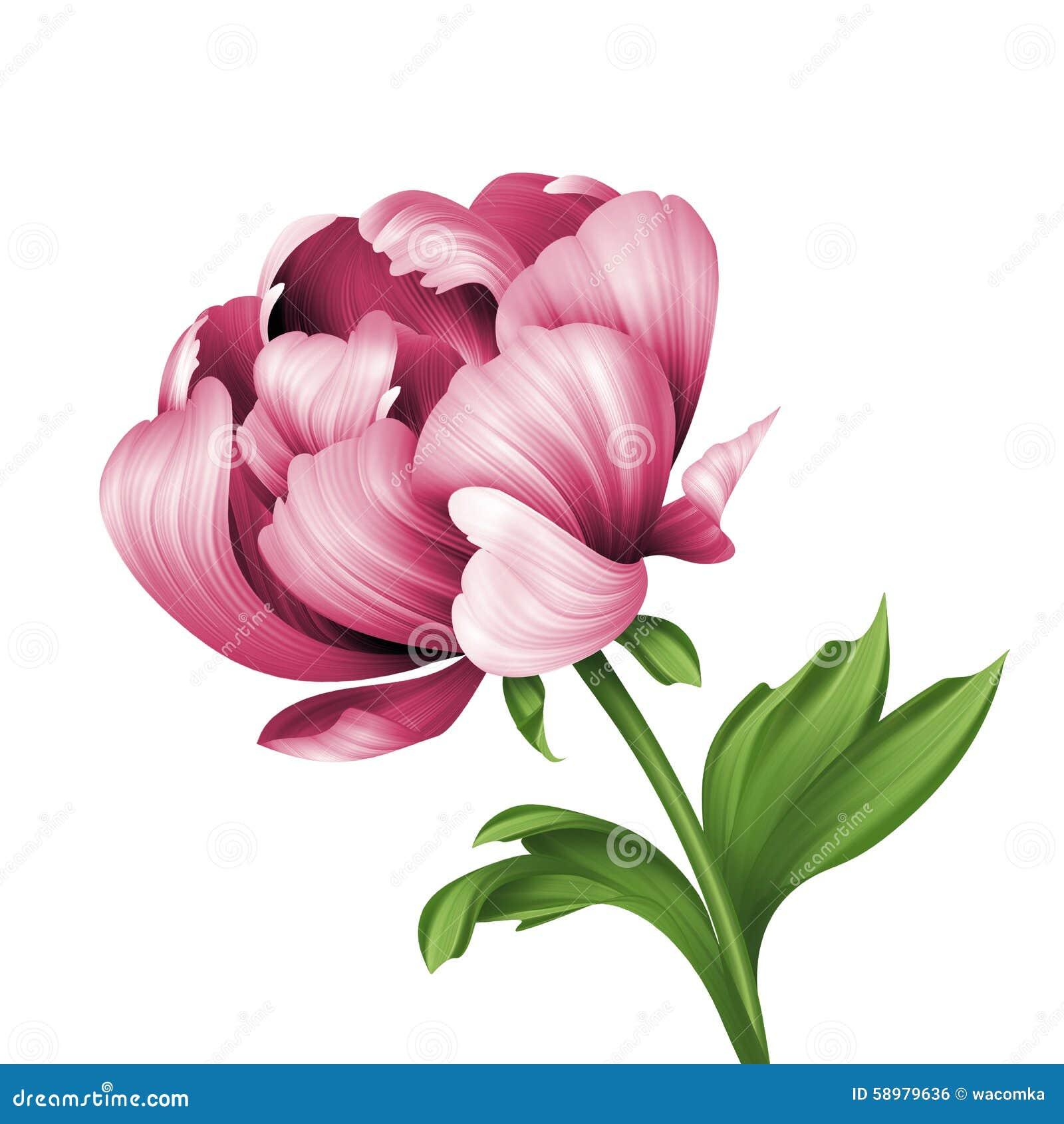botanical illustration rose black and white