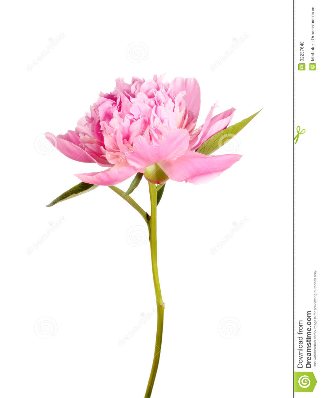 Pink Peony Flower Stock Photo Image Of Leaf Petal Background