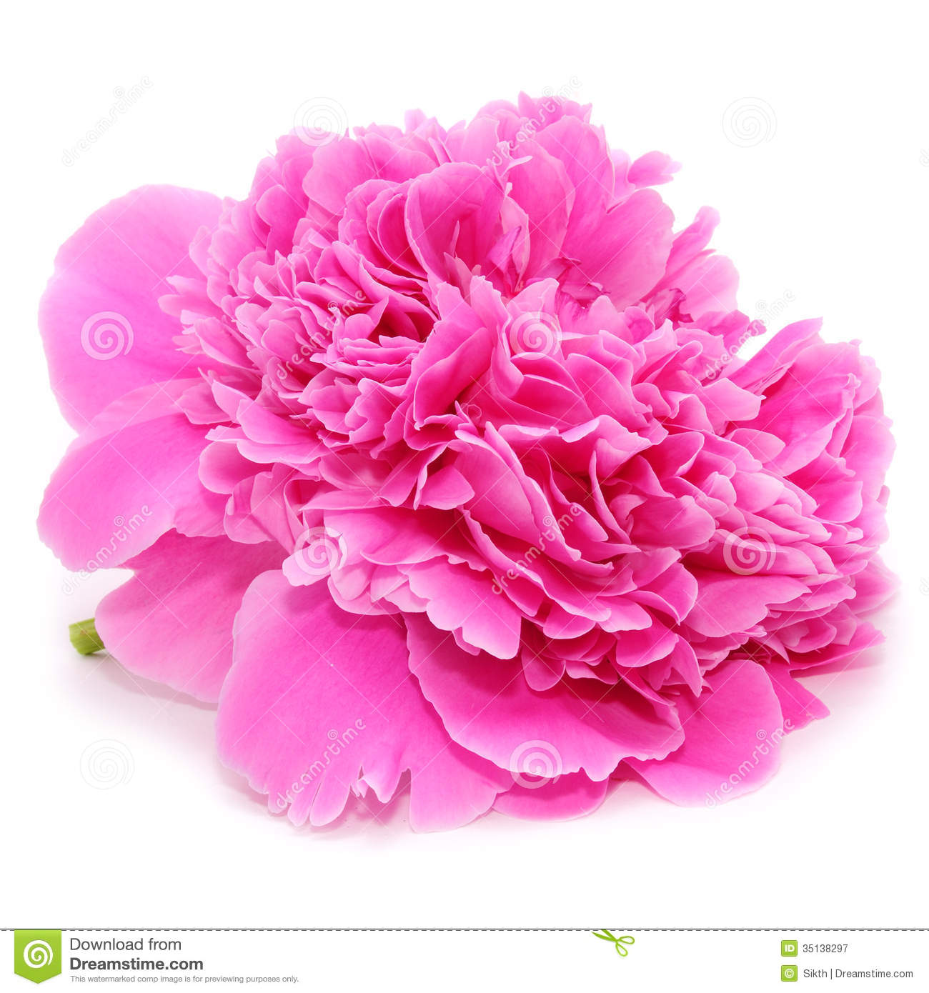 pink peony flower isolated on white background royalty. Black Bedroom Furniture Sets. Home Design Ideas