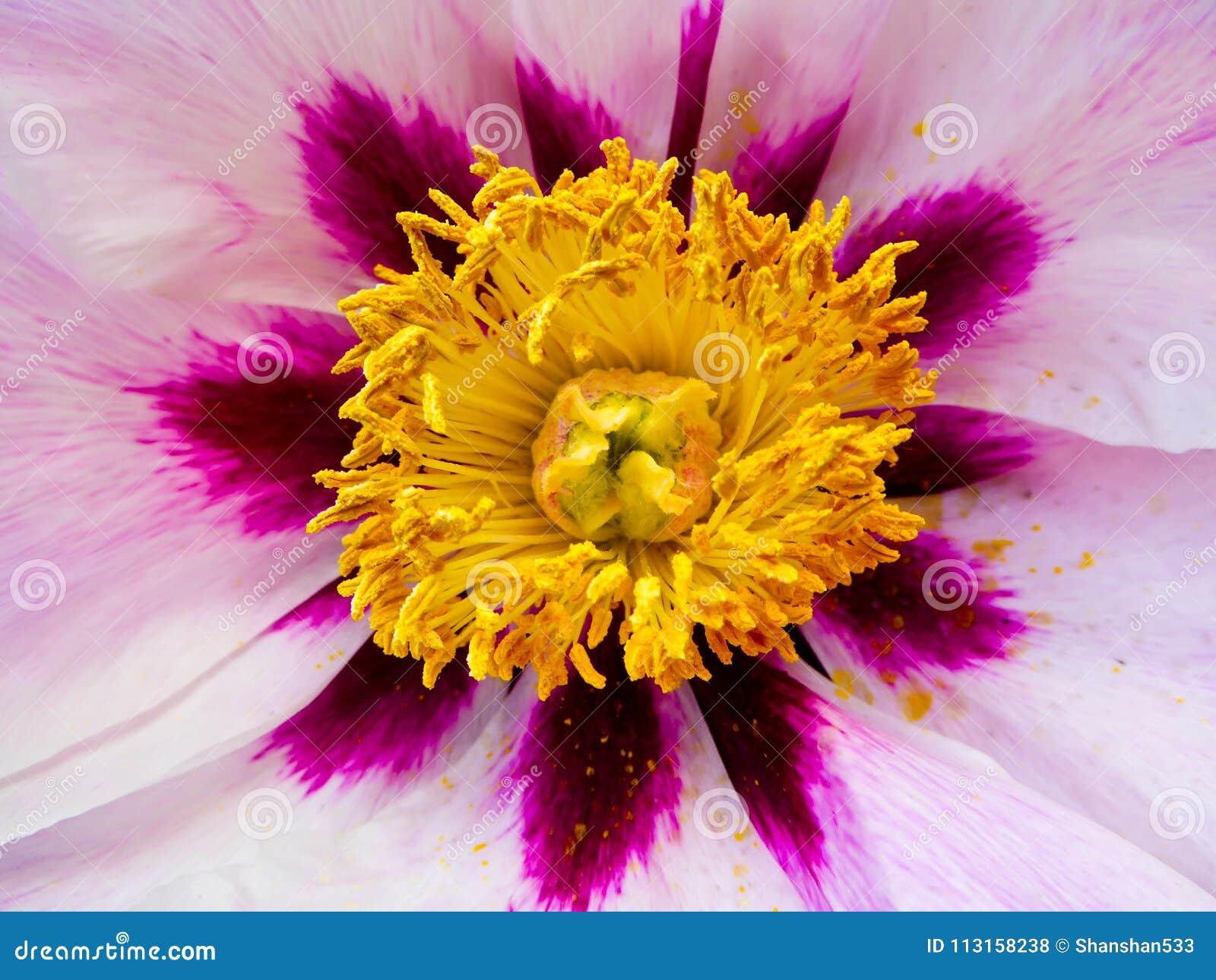 Pink Peony flower petal blooming