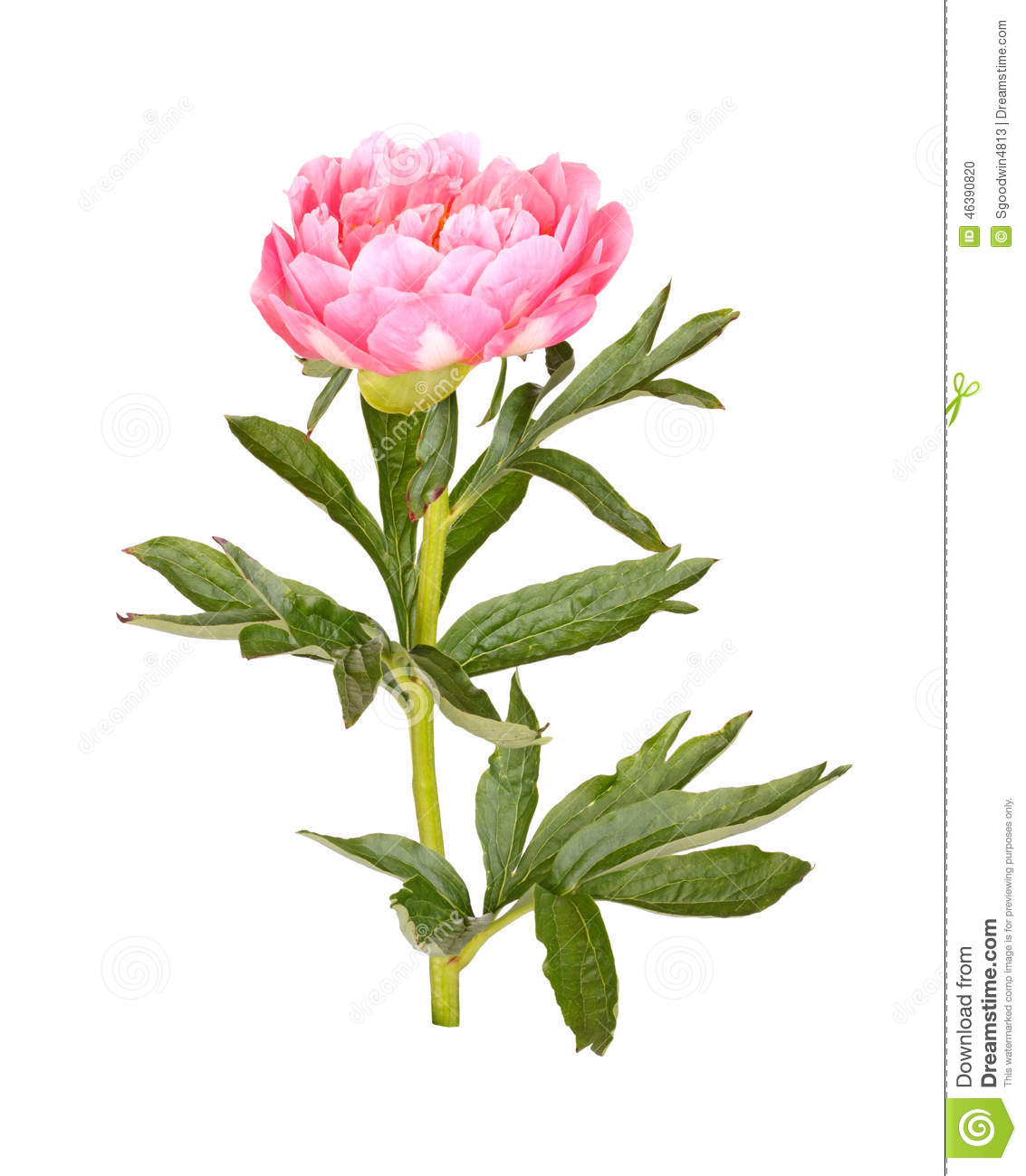 One double flower, stem and leaves of a pink peony (Paeonia lactiflora ...