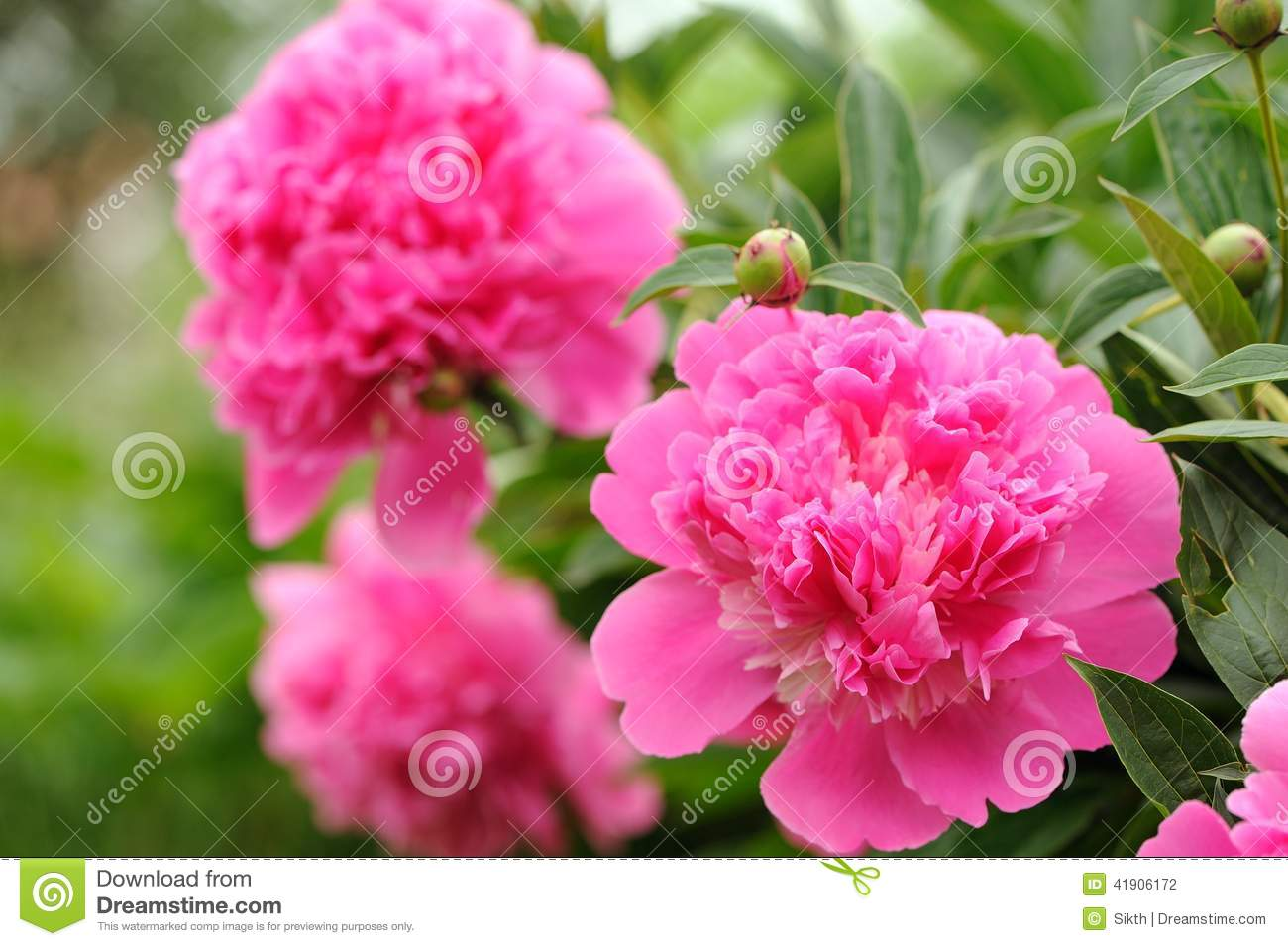 Pink peony flowers with buds in the garden stock photo image 41906172 - Growing peonies in the garden ...