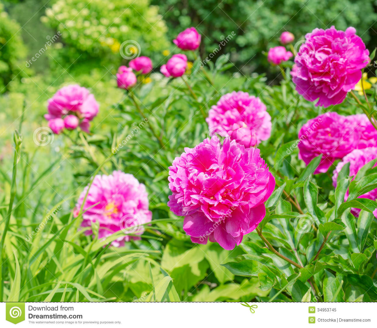 Pink peony flowers in the garden stock image image of gardening download pink peony flowers in the garden stock image image of gardening gift mightylinksfo