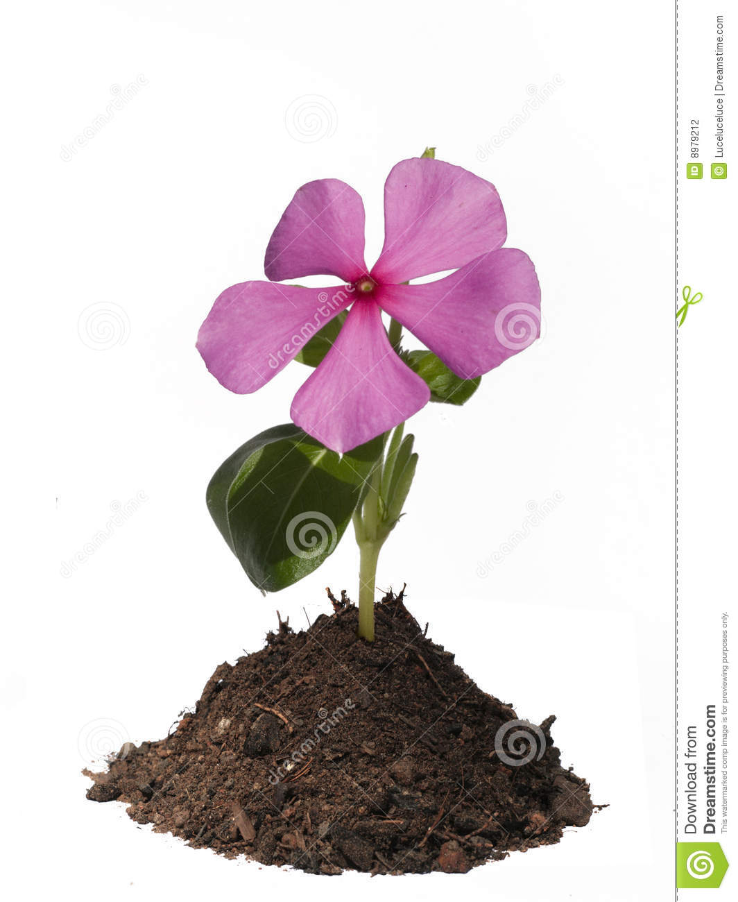 Pink Periwinkle Flower In A Mound Of Soil Stock Photo Image Of