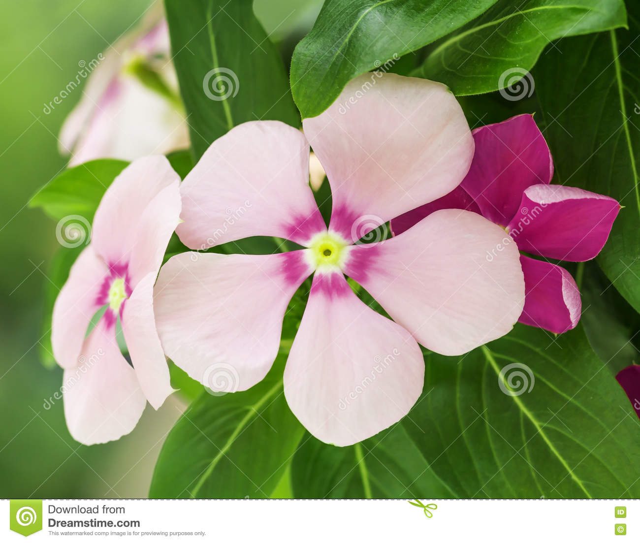 Pink Periwinkle Flowers In Nature Stock Photo Image Of Green