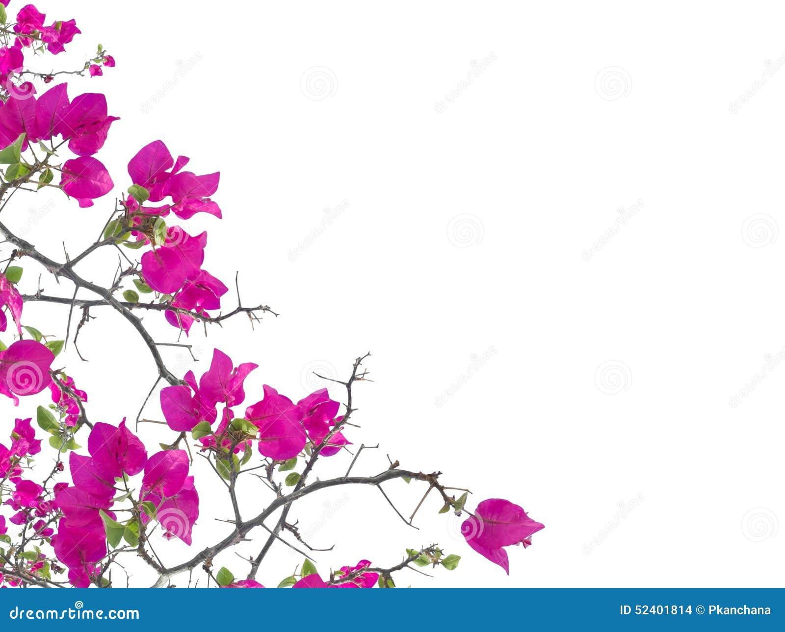 Pink Petunia Flower Isolated Stock Photo Image Of Background