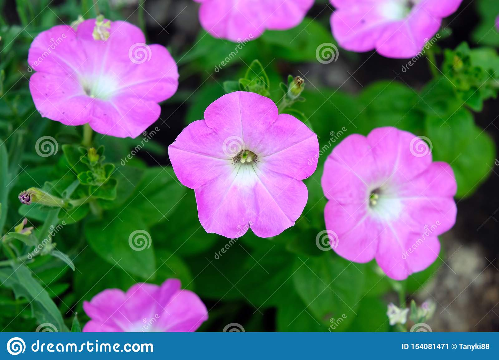 Pink Petunia Flowers Close Up Stock Image Image Of Bloom