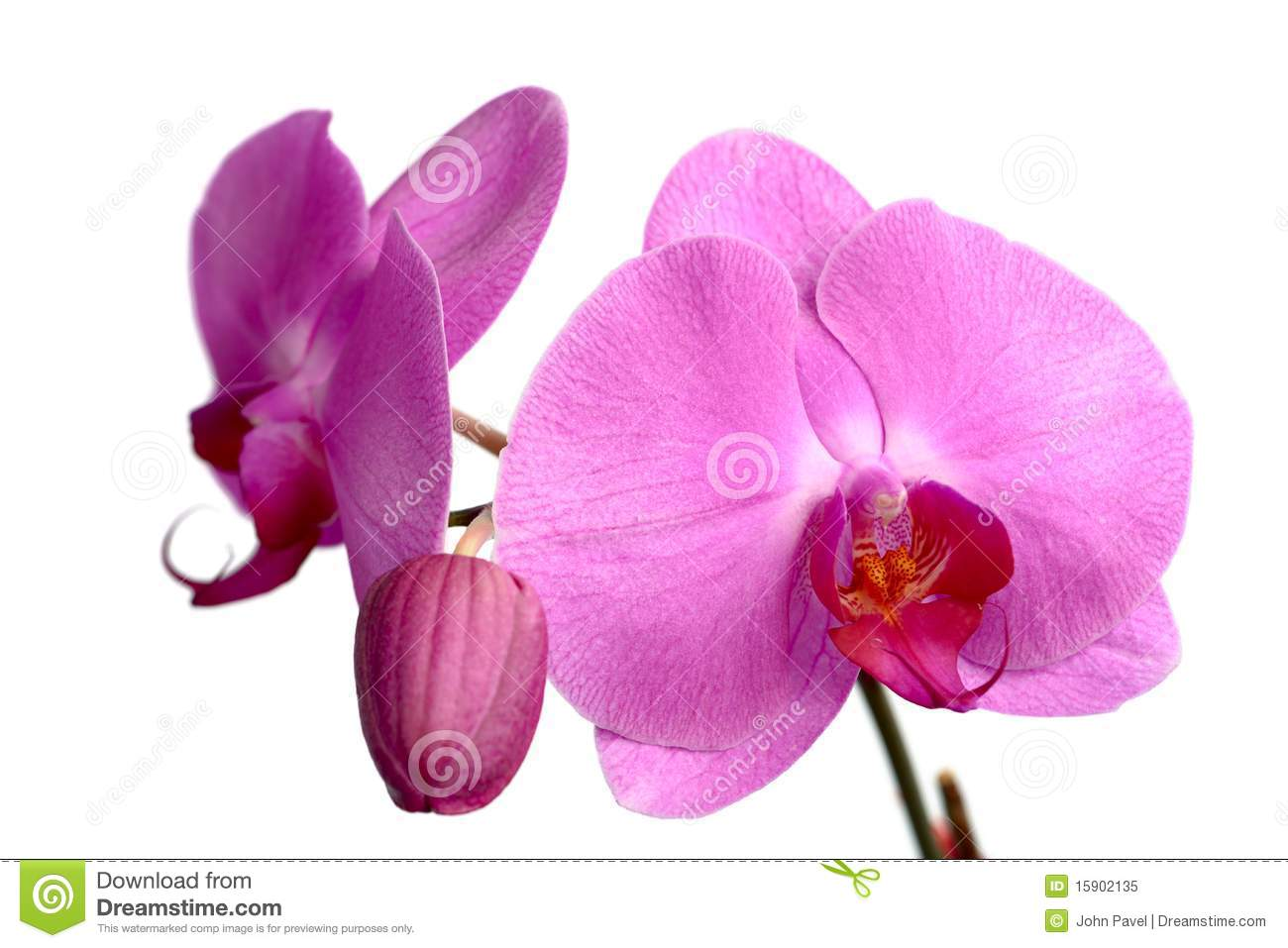 pink phalaenopsis orchidee royalty free stock photo. Black Bedroom Furniture Sets. Home Design Ideas