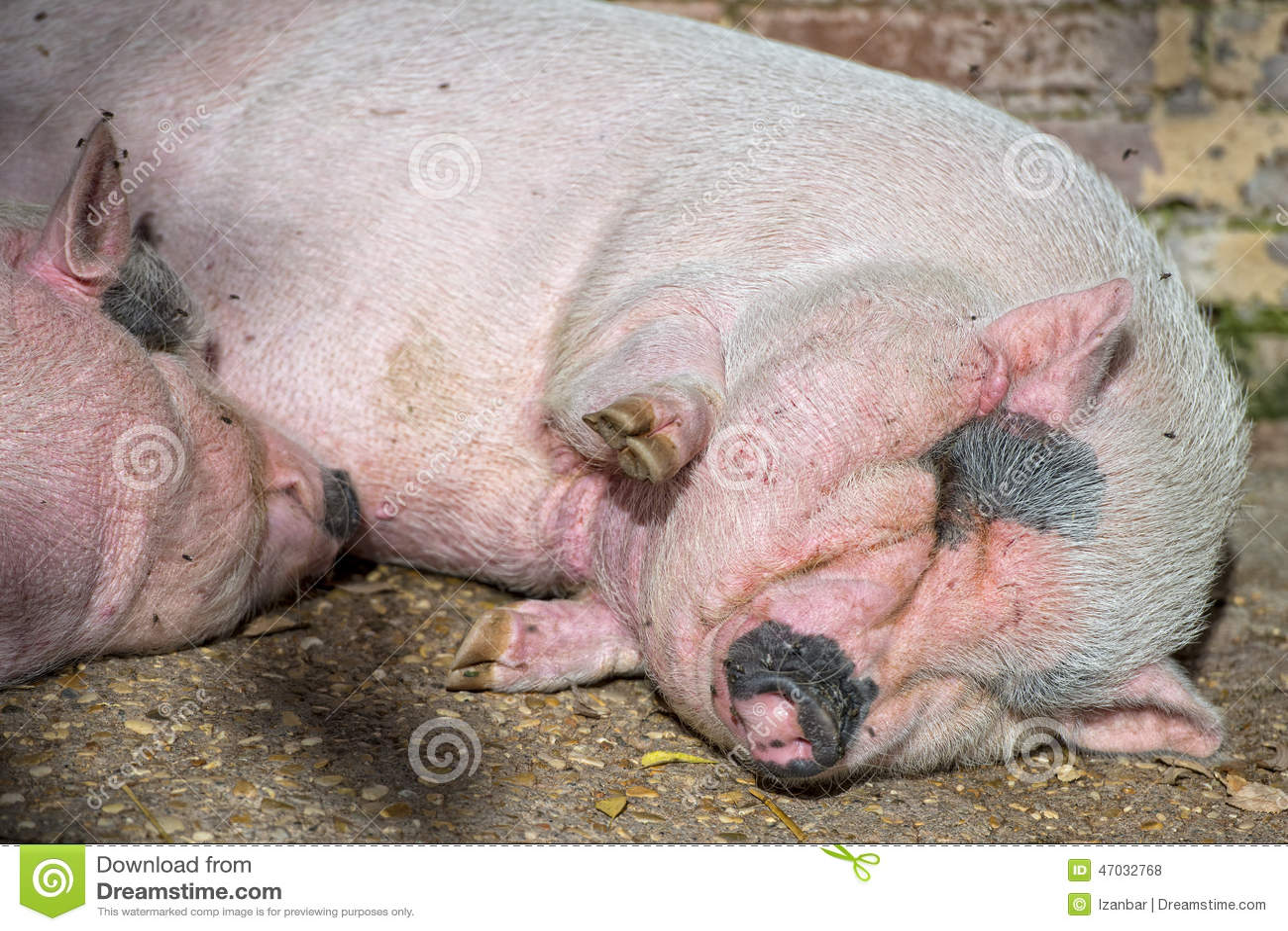 Свинья визжит во чему к сне