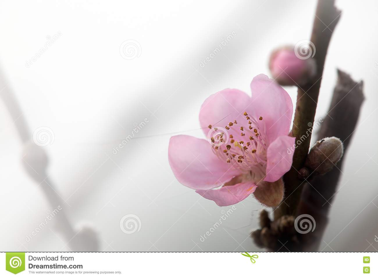 Pink Plum Flower With Nice Background Color Stock Photo