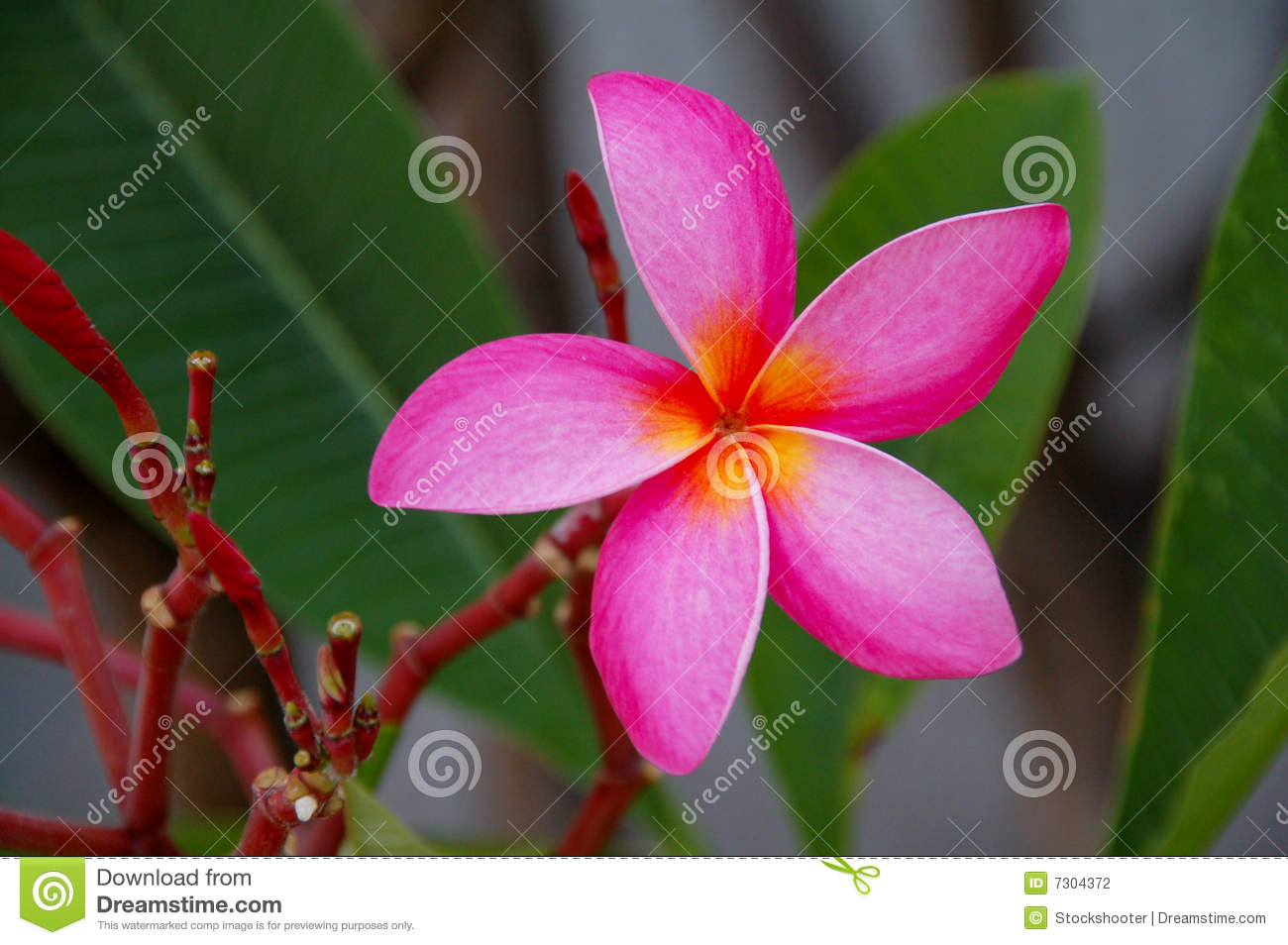 Pink plumeria flower closeup stock photo image of fertilise light pink plumeria flower closeup mightylinksfo