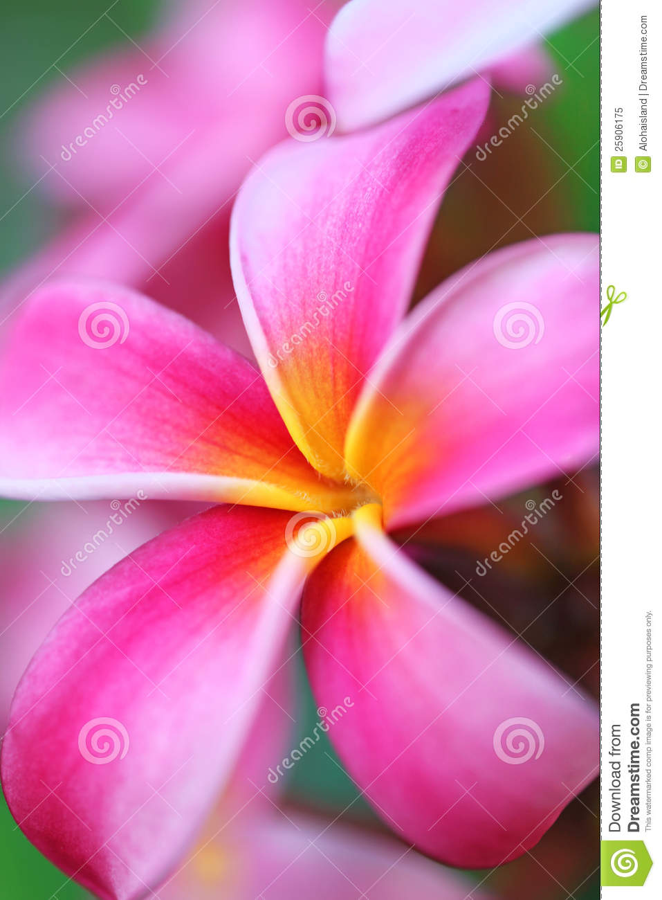 Pink plumeria flower hawaii stock image image of fragile green download comp izmirmasajfo