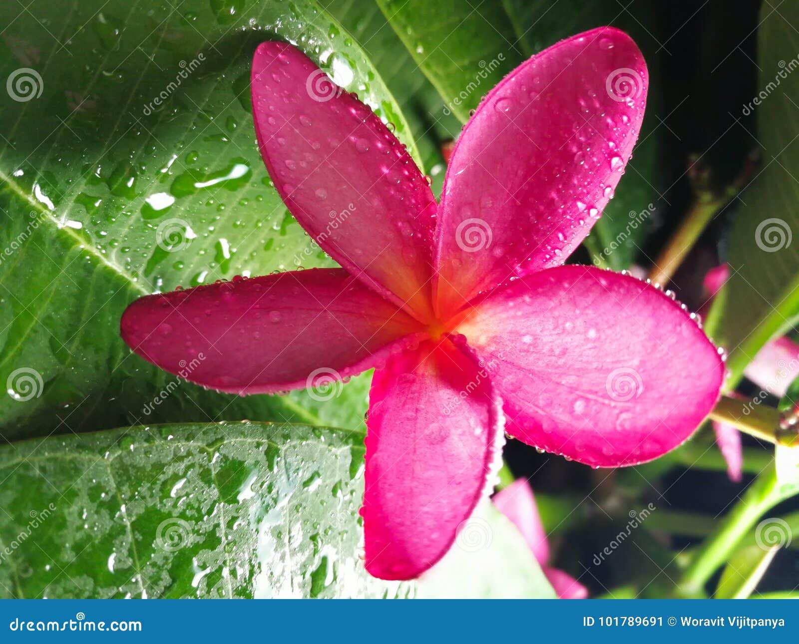 Pink plumeria flower hawaii stock image image of summer fragile download pink plumeria flower hawaii stock image image of summer fragile 101789691 mightylinksfo