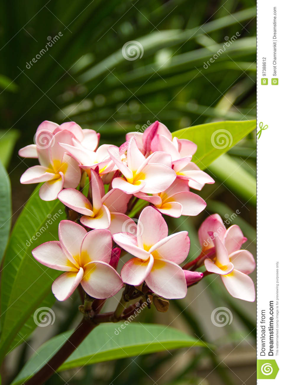 Pink plumeria flower time near noon. Background of natural conditions.