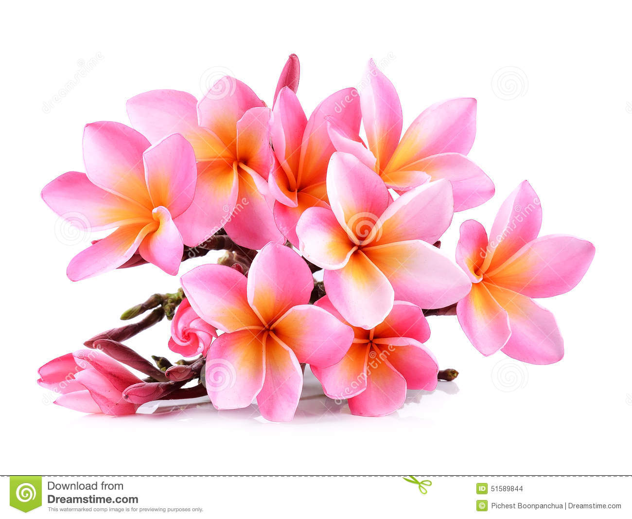 Pink plumeria flowers isolated on white background stock photo background isolated pink plumeria dhlflorist Gallery