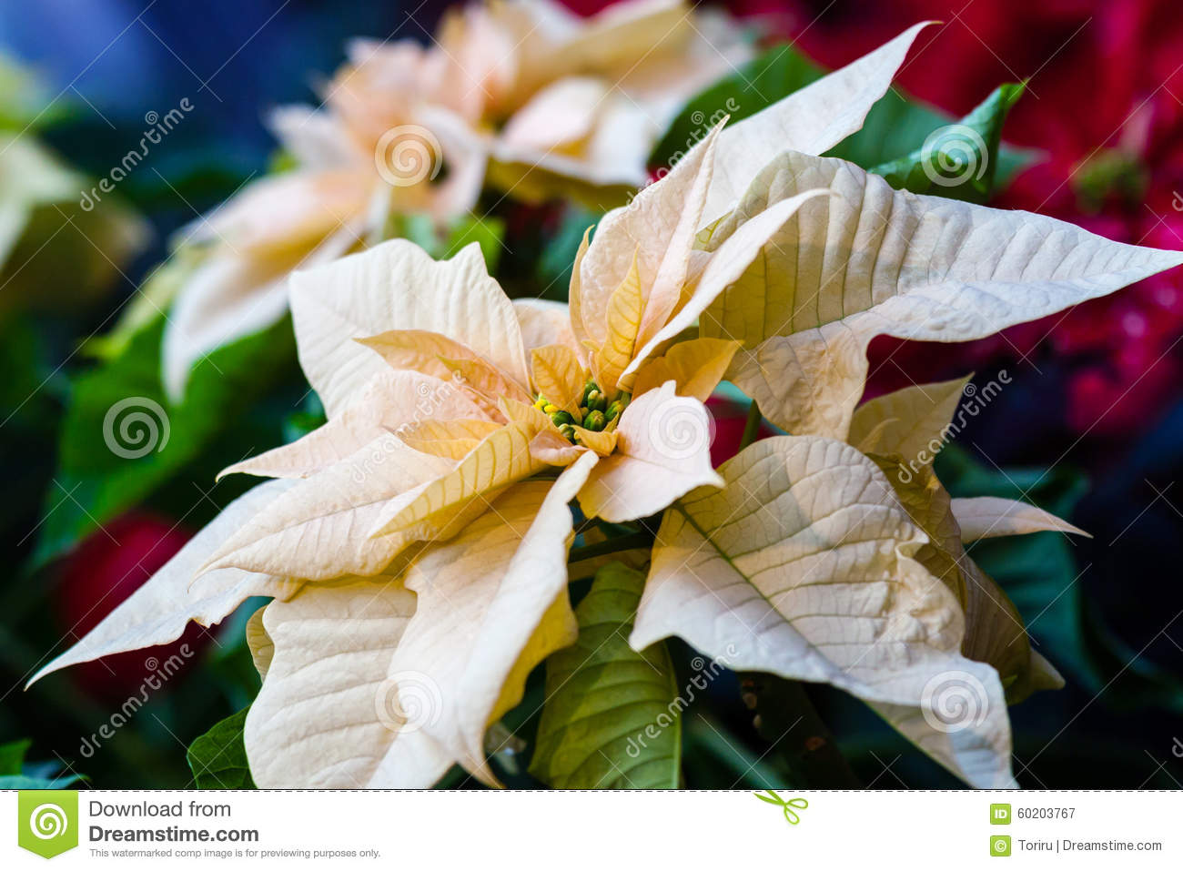 Pink Poinsettia Stock Photo Image 60203767