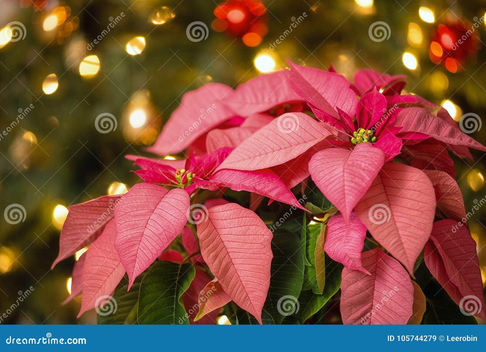 Pink Poinsettia flower, Christmas Star
