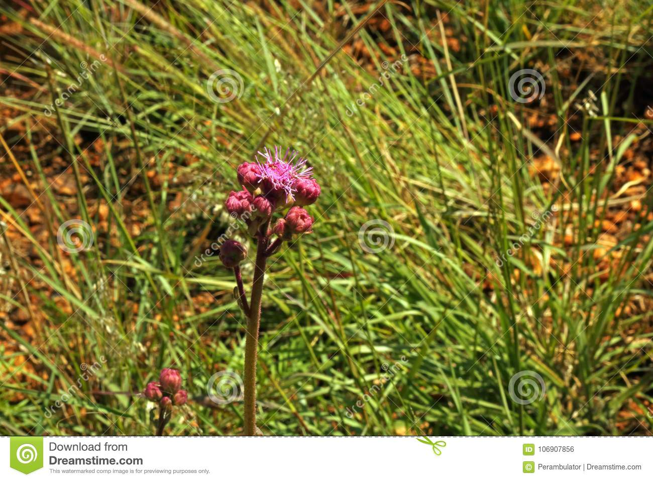 Wild Pink Pom Pom Flower Growing In A Field Stock Photo Image Of