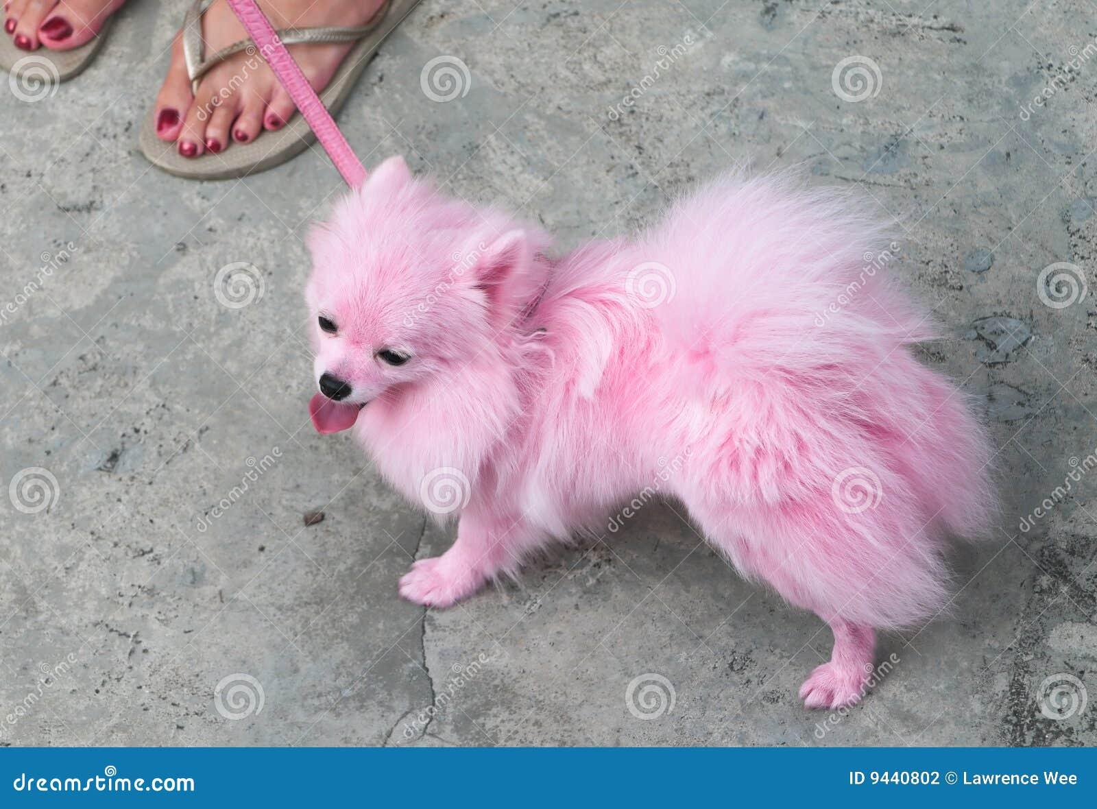 Pink Pomeranian Pet Stock Photography Image 9440802