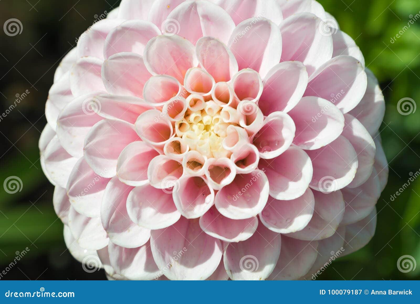 Pink Pompom Dahlia Flower Stock Image Image Of Garden 100079187