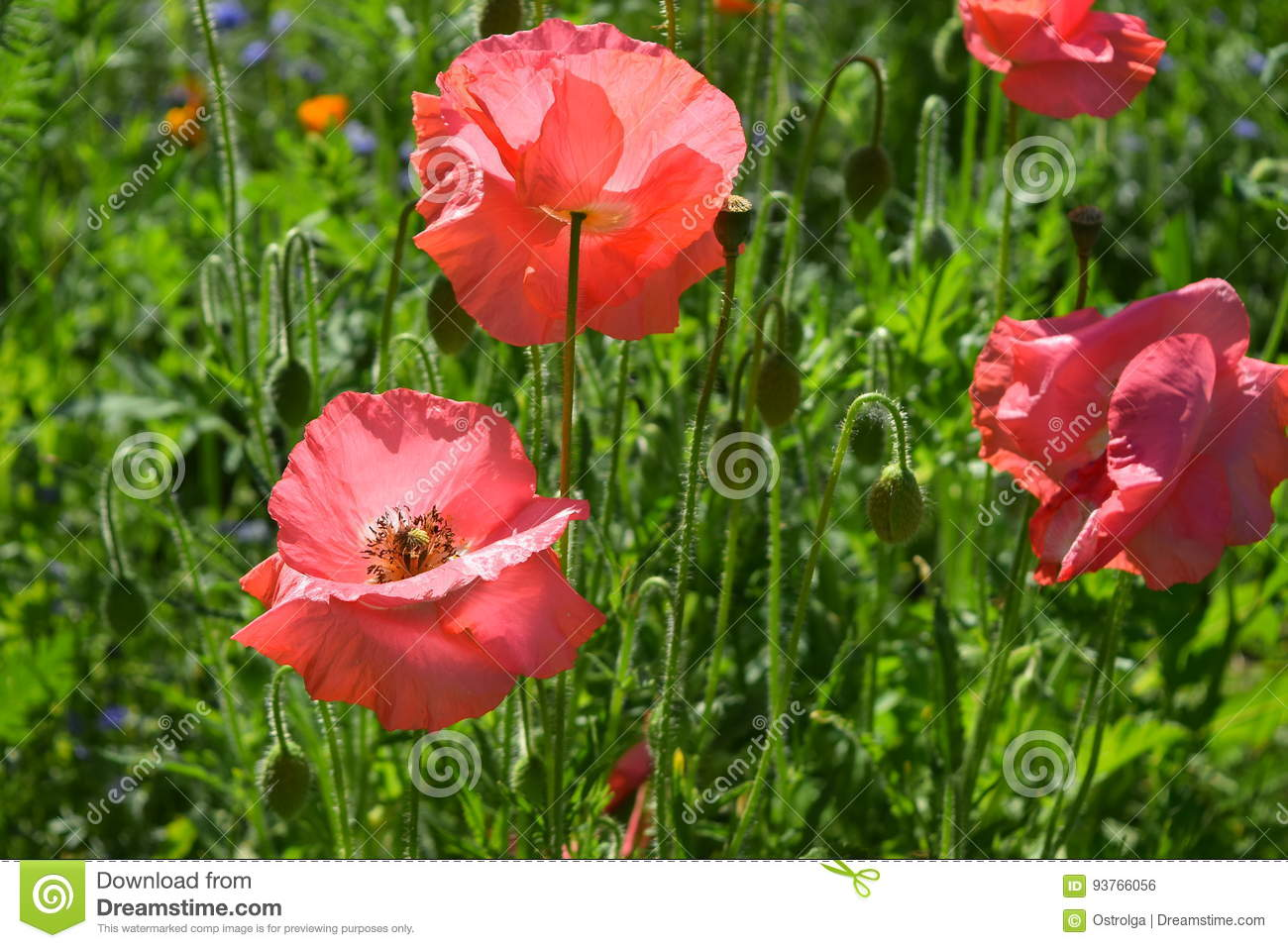 Pink Poppies On The Field Of Other Poppies Stock Photo Image Of