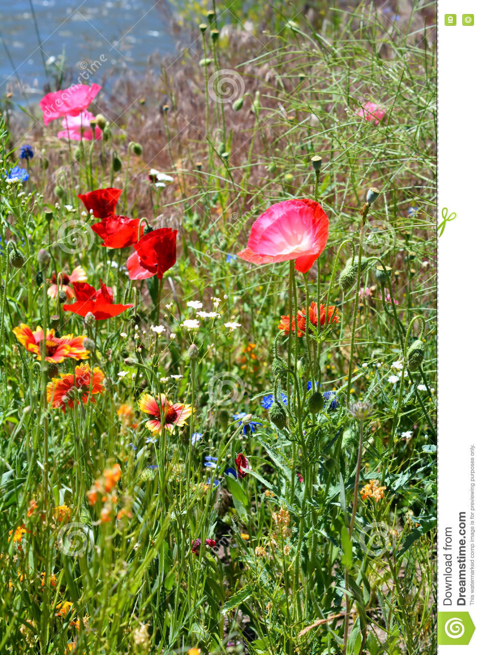 Pink Poppies In Flower Field Stock Photo Image Of Garden Botany