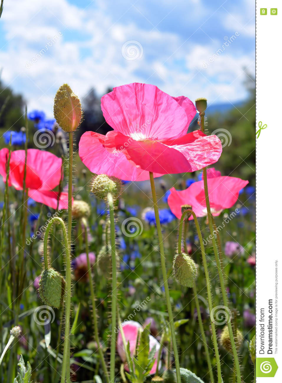 Pink Poppies In Flower Field Stock Image Image Of Bright Outside