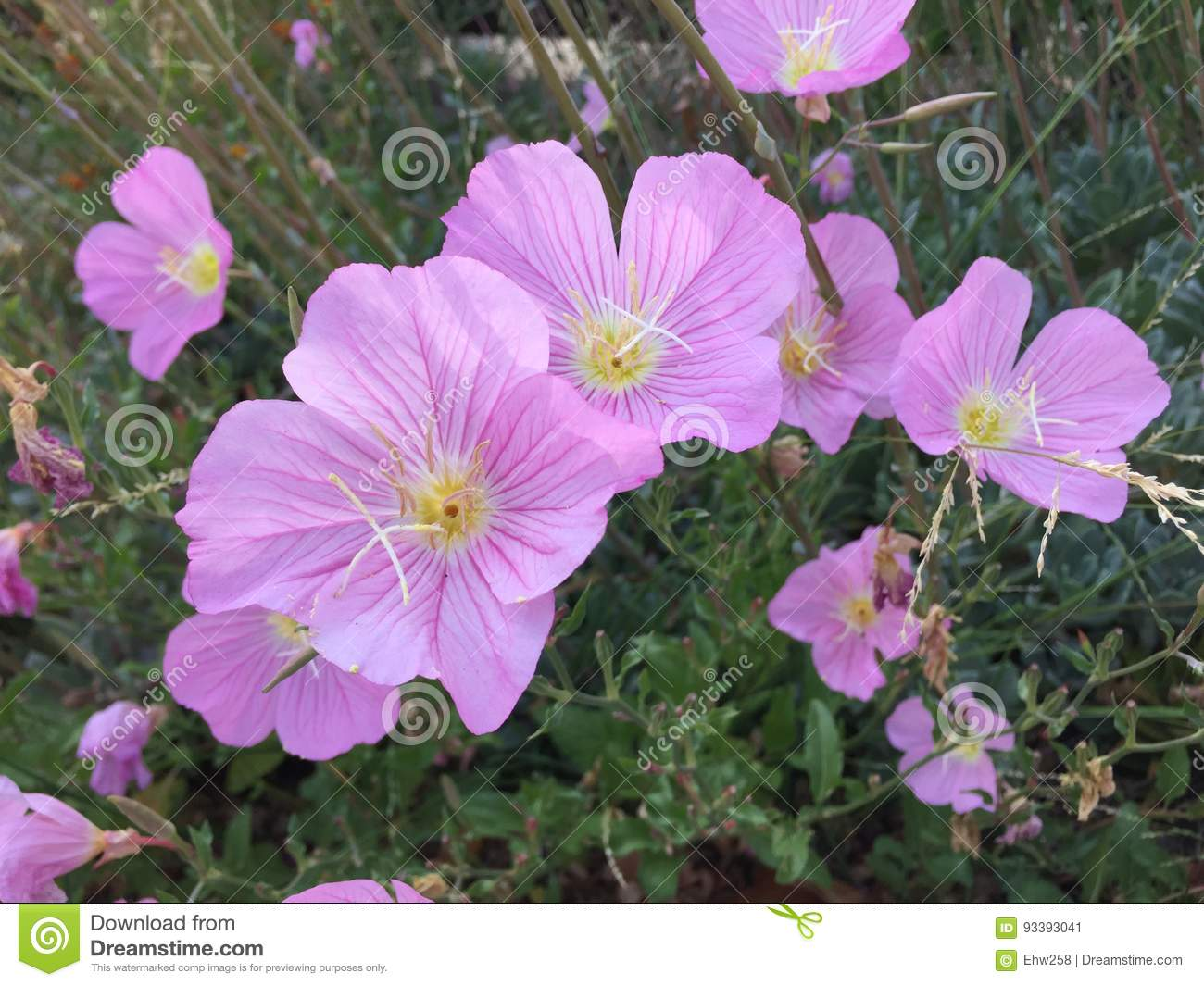 Pink Poppies Stock Image Image Of Flowers Poppies Yellow 93393041