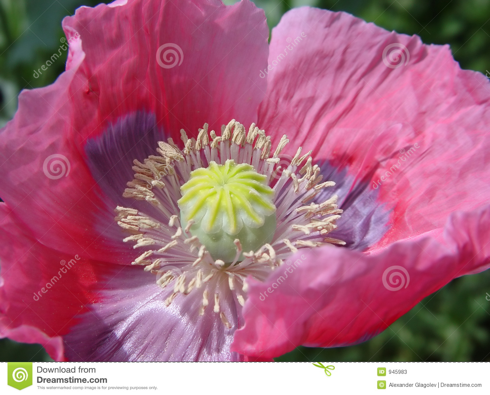 Pink Poppy Flower Stock Image Image Of Botanic Green 945983