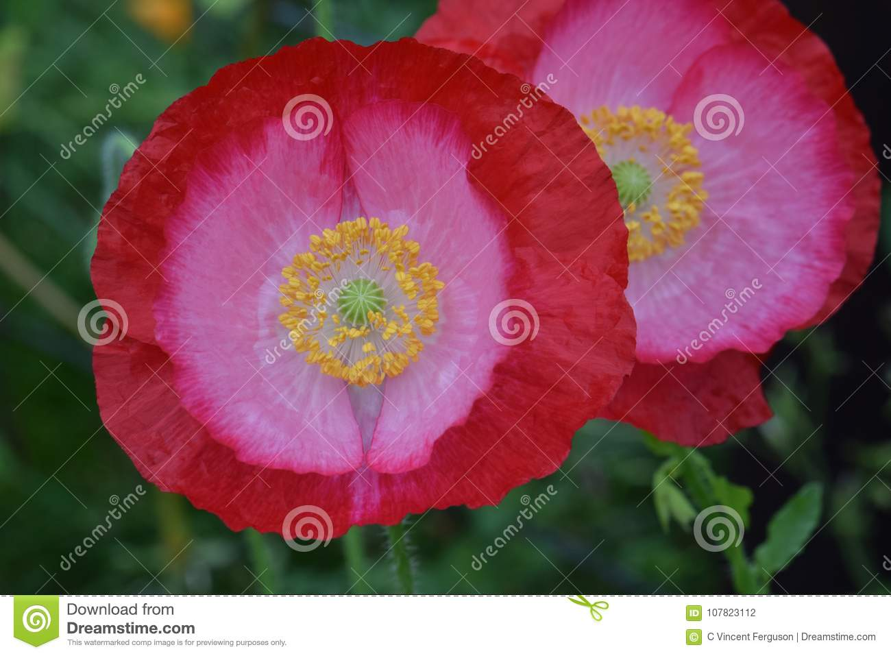 Pink Poppy Flower Petal Duo Stock Photo Image Of Botanical Blurry