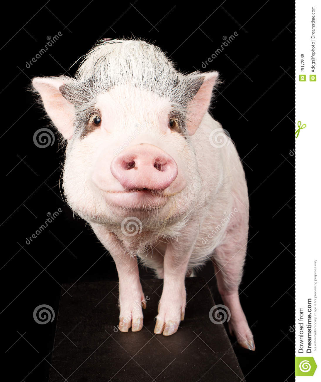 Pink Pot Bellied Pig Royalty Free Stock Photos Image