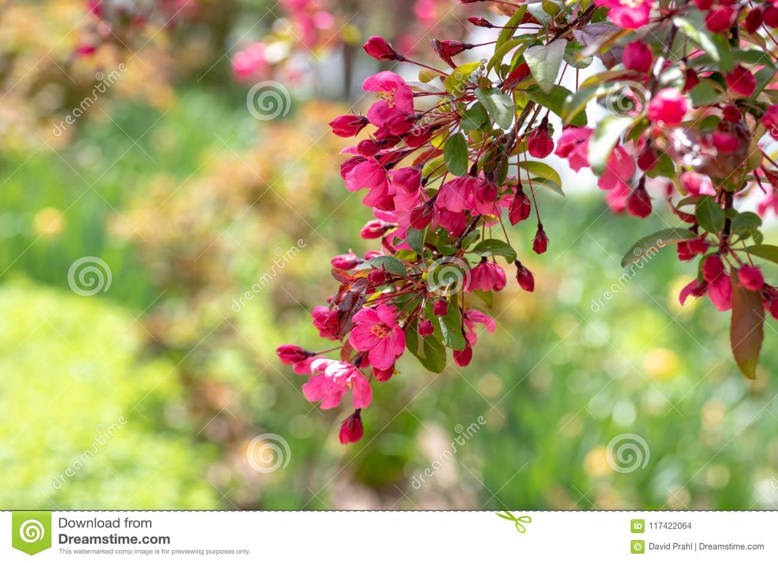 Pink Prarifire Crabapple Tree Flowers Blooming In Spring Stock Photo