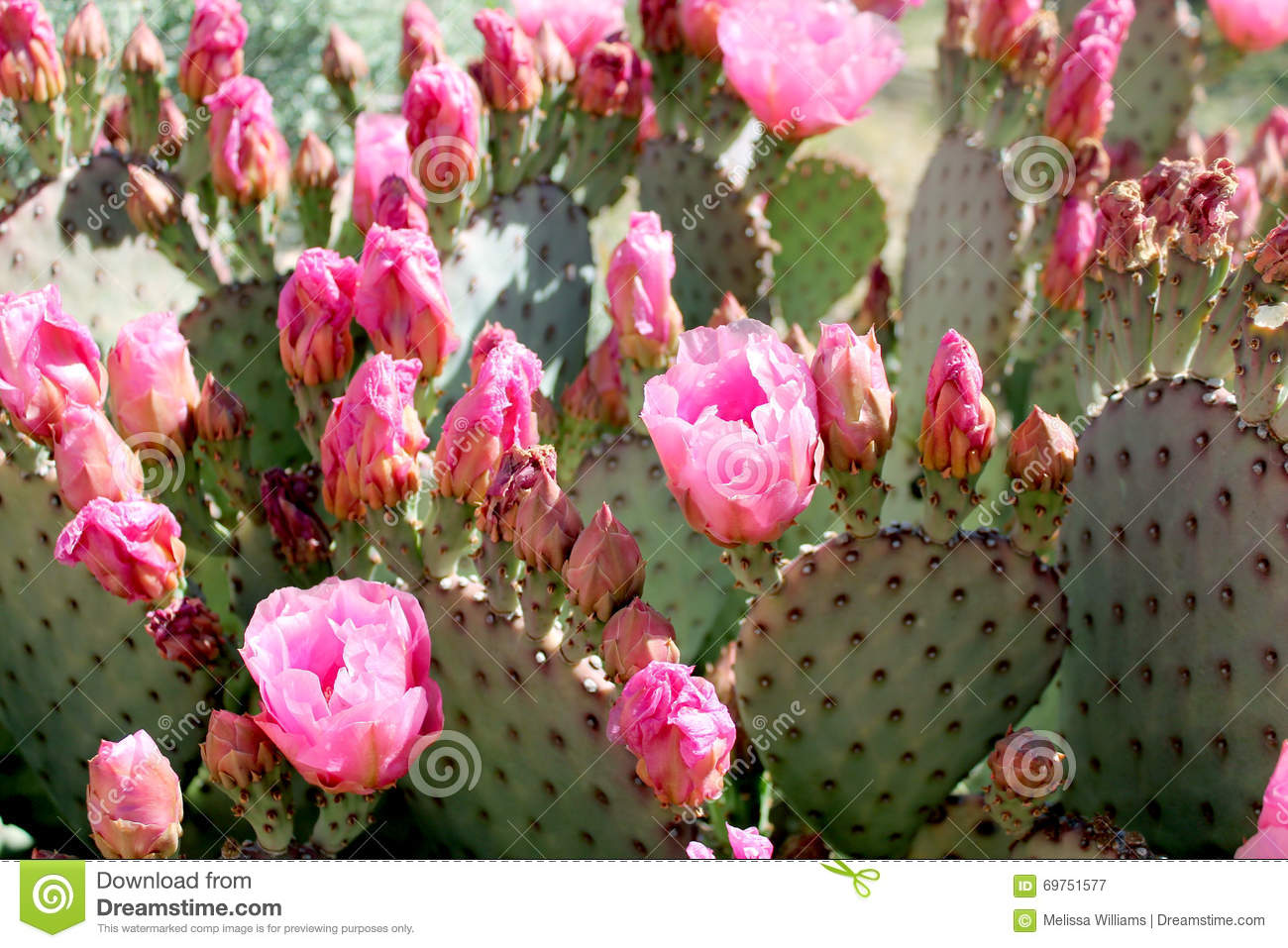 pink prickly pear cactus flowers stock image