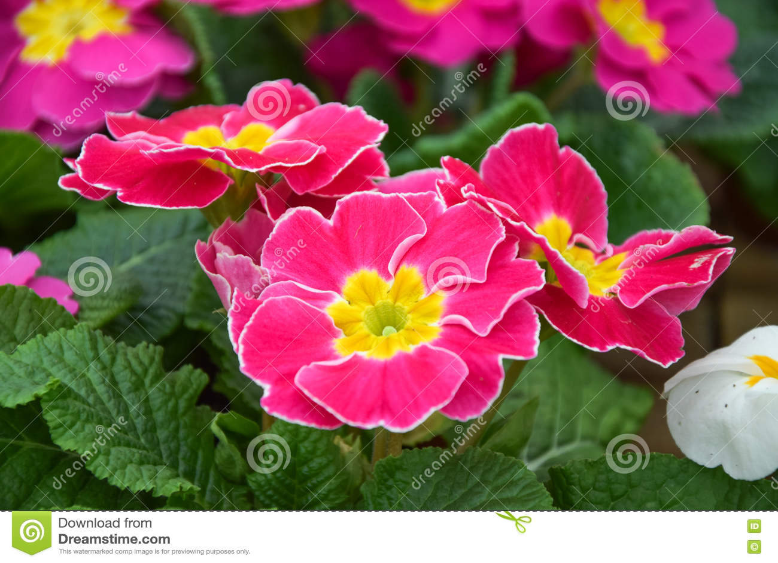 Pink Primrose Flower Primula Cultivar Stock Photo Image Of Image