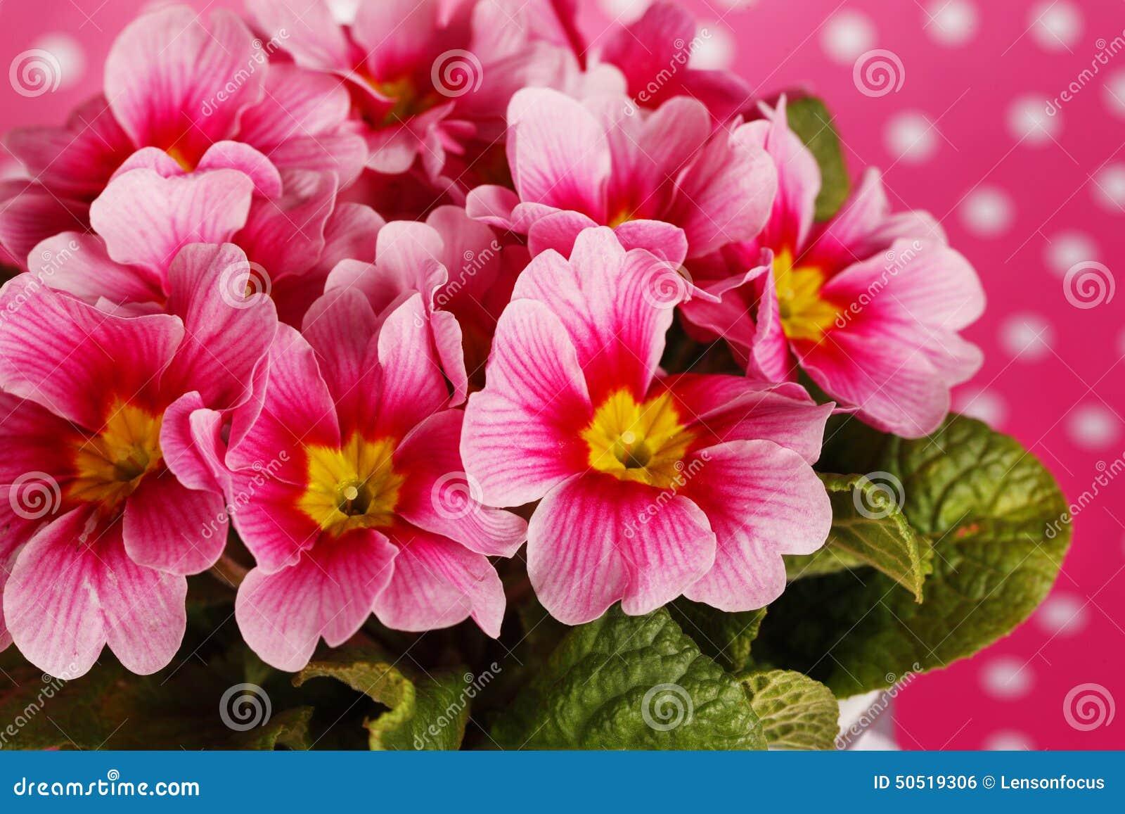 Pink primrose flowers stock photo image of romantic 50519306 pink primrose flowers mightylinksfo