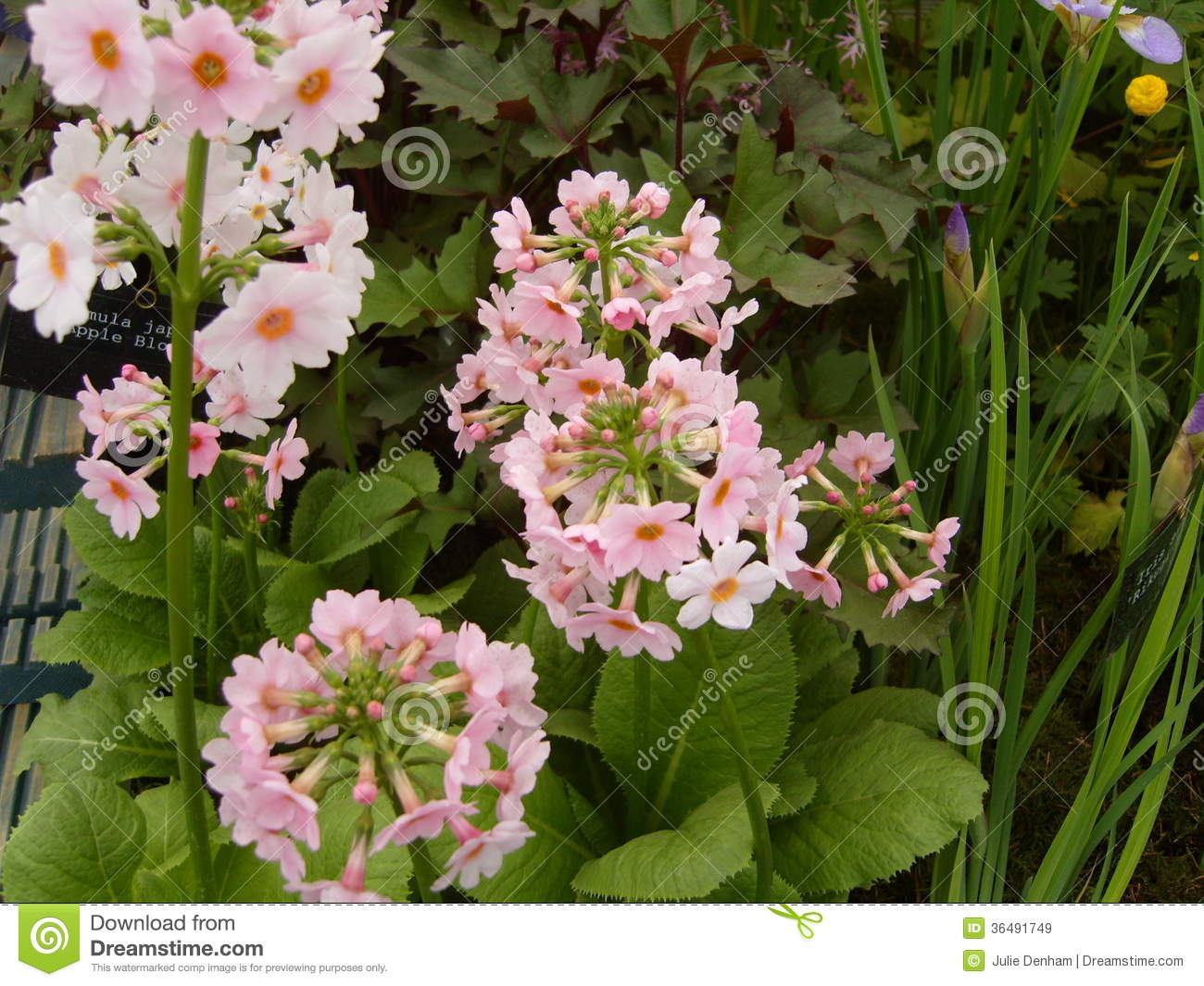 Pink Primula Flowers Stock Image Image Of Gardens Plants 36491749